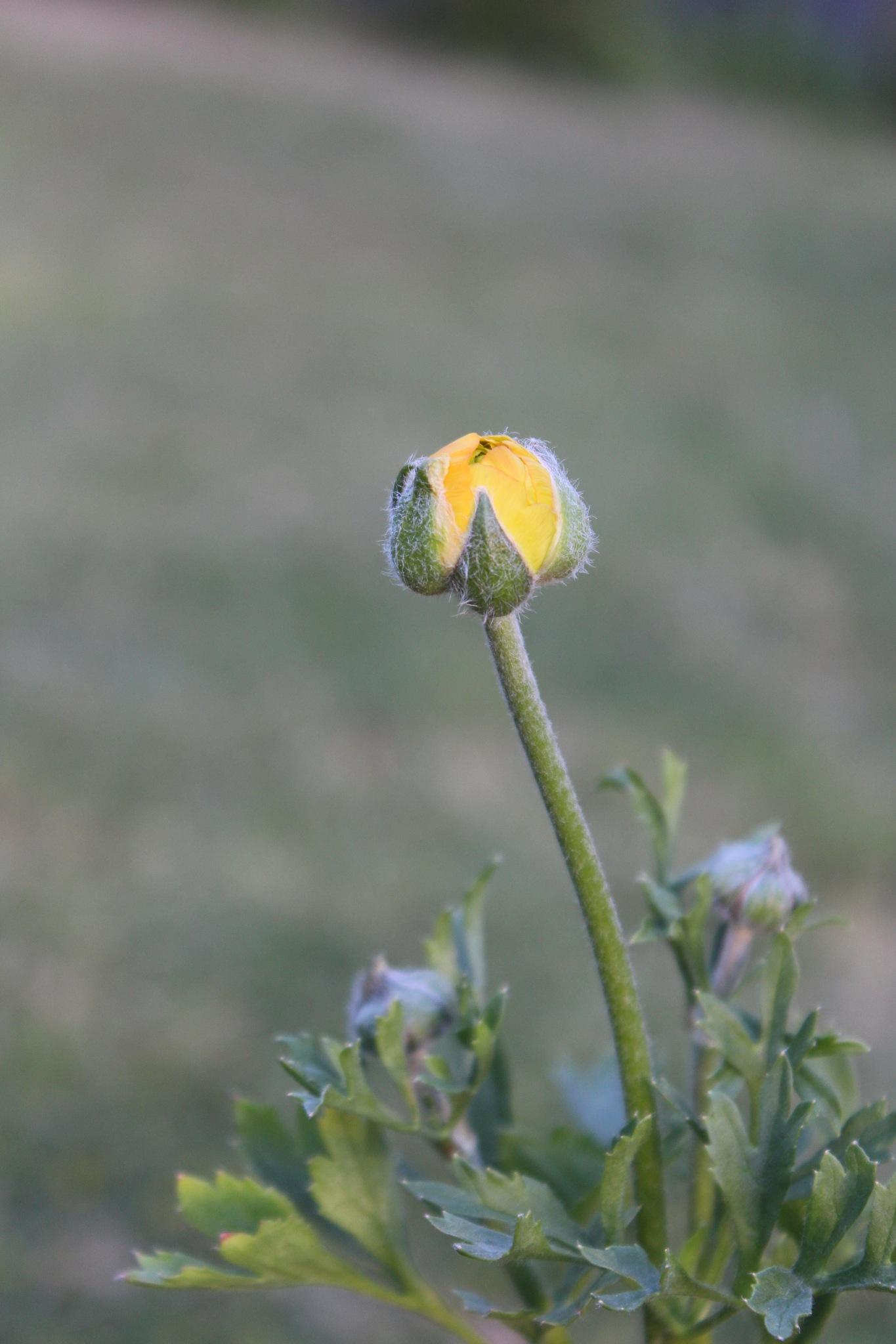 Yellow Ranunculus by Yeakuty Jhanker