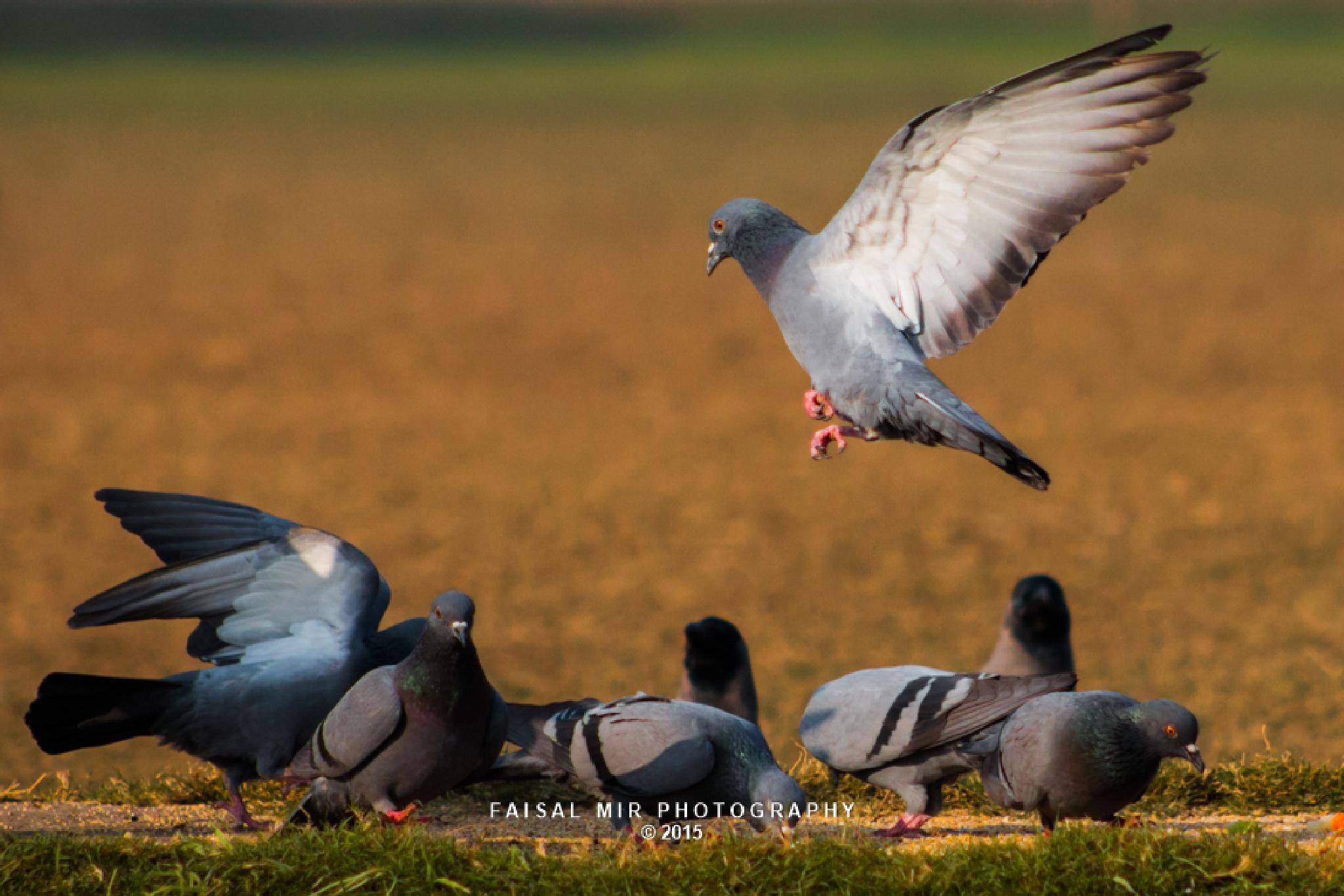 Rock Pigeon by MirFaisal