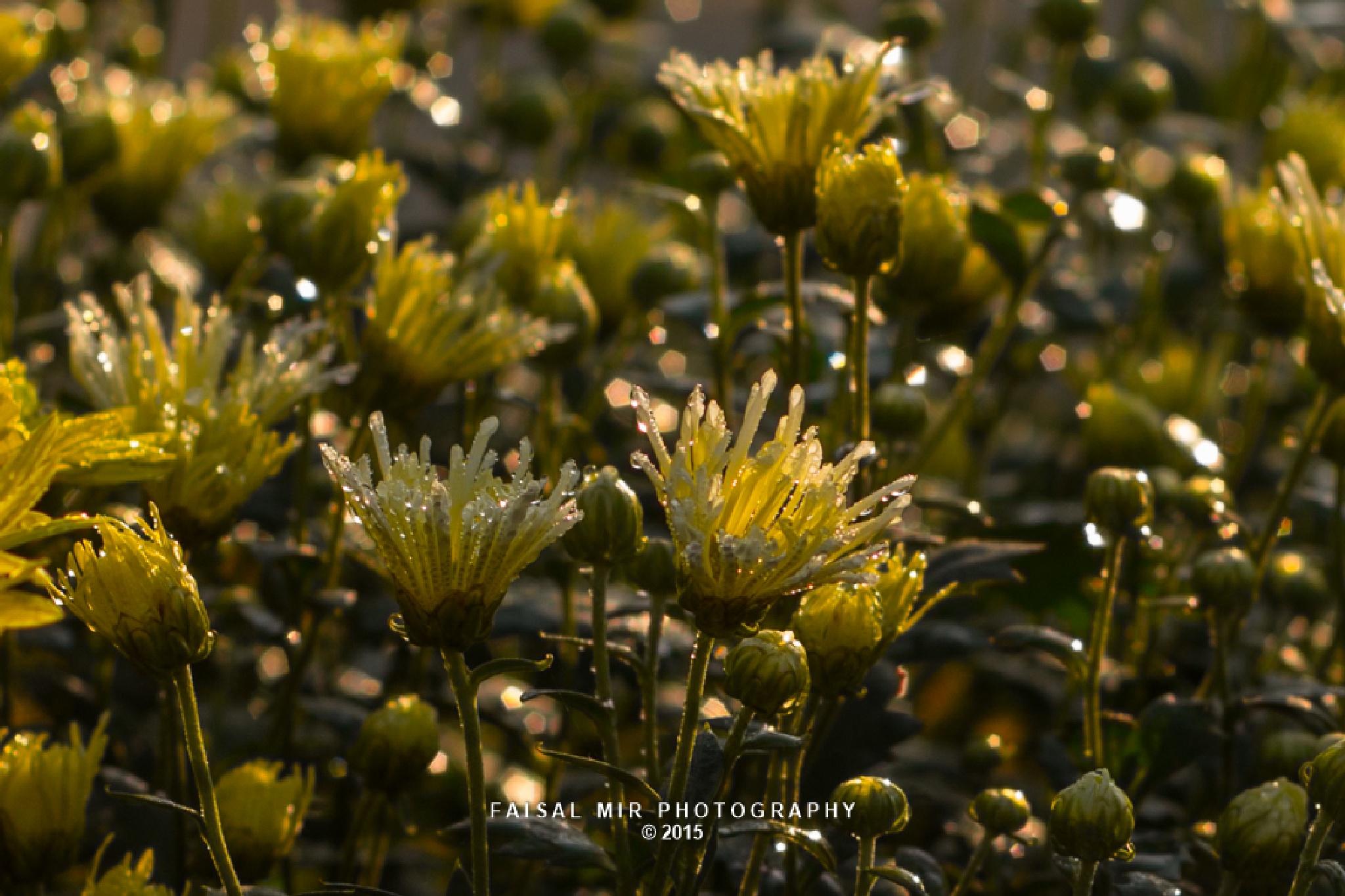 Chrysanthemum Flower Show 2015 by MirFaisal