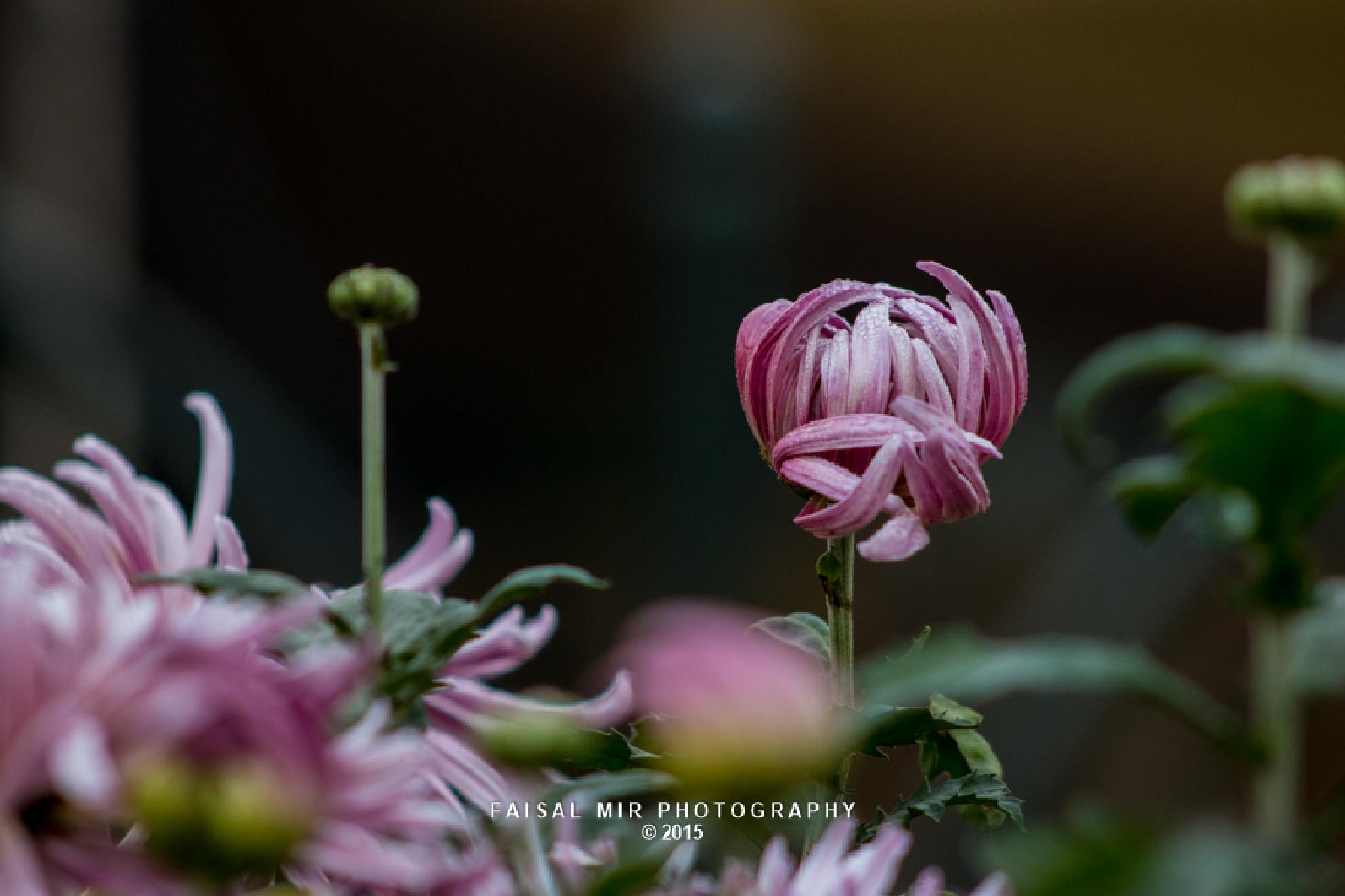 Chrysanthemum by MirFaisal