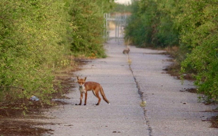 Fox out hunting rabbits  by Robert G Marshall