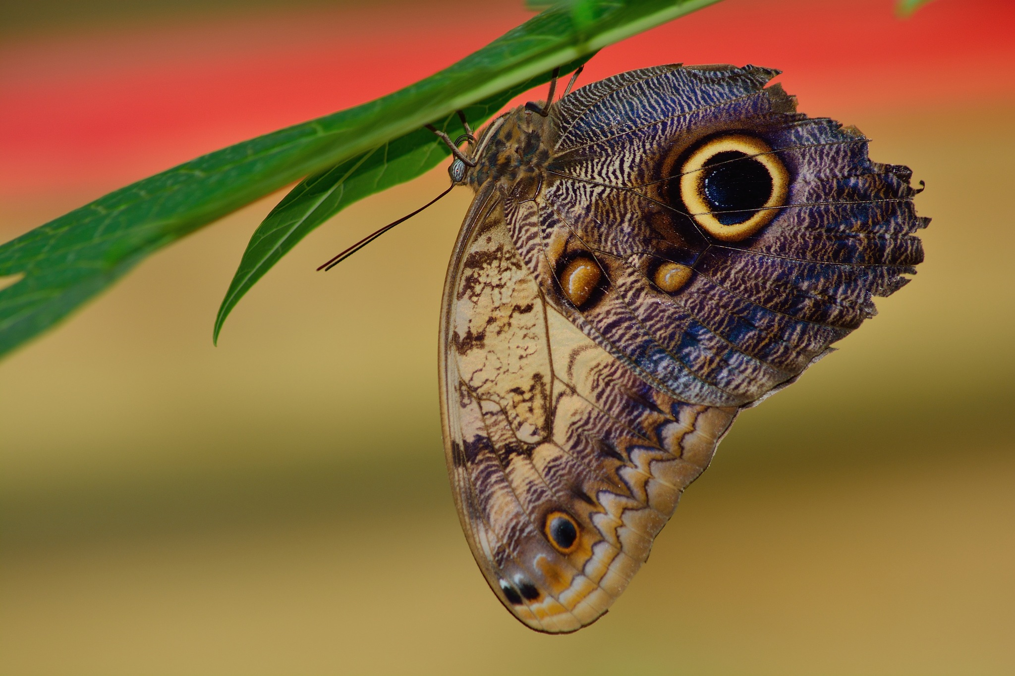 Morpho Butterfly by Jotneb