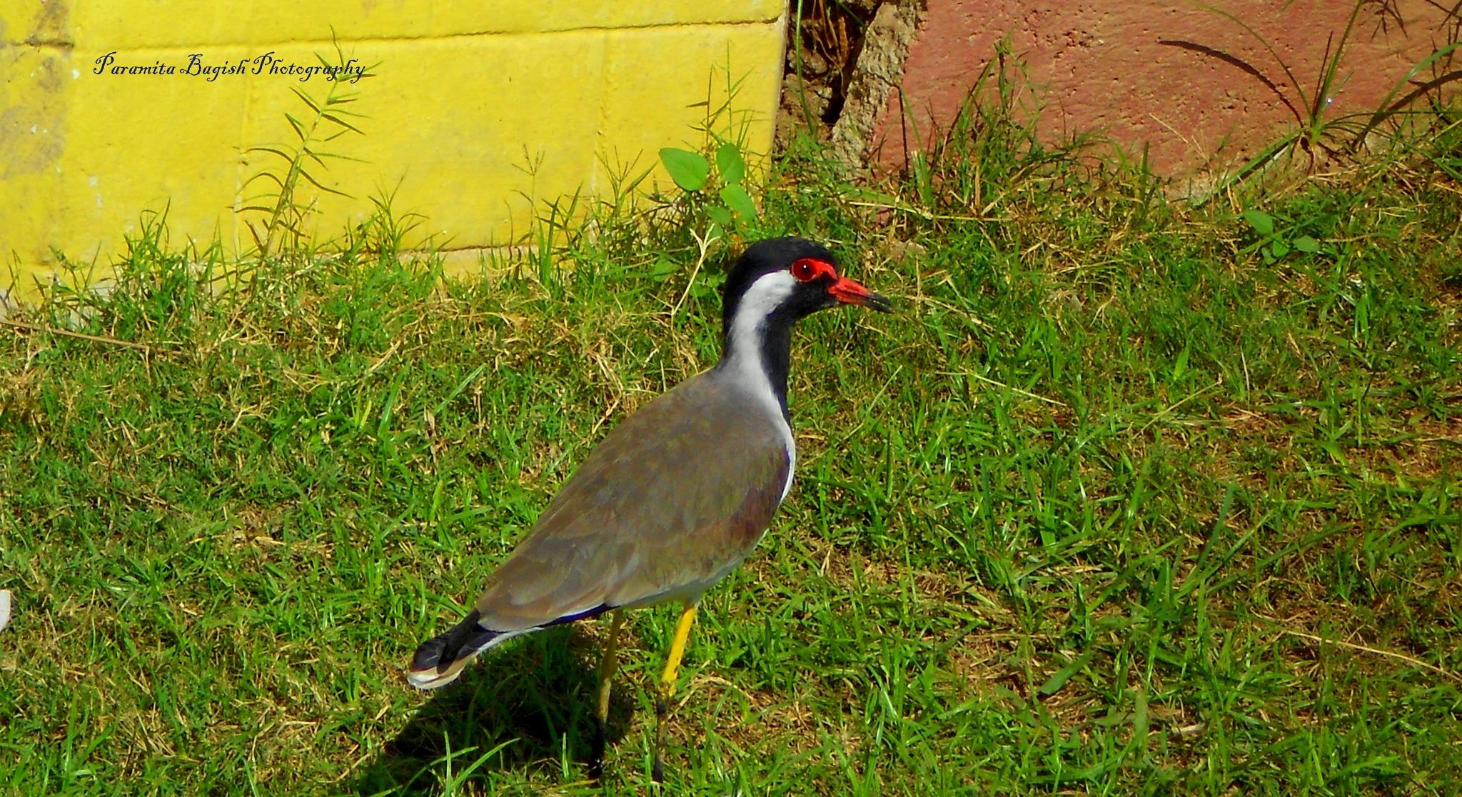 Red lips bird by Paramita Das Bagish