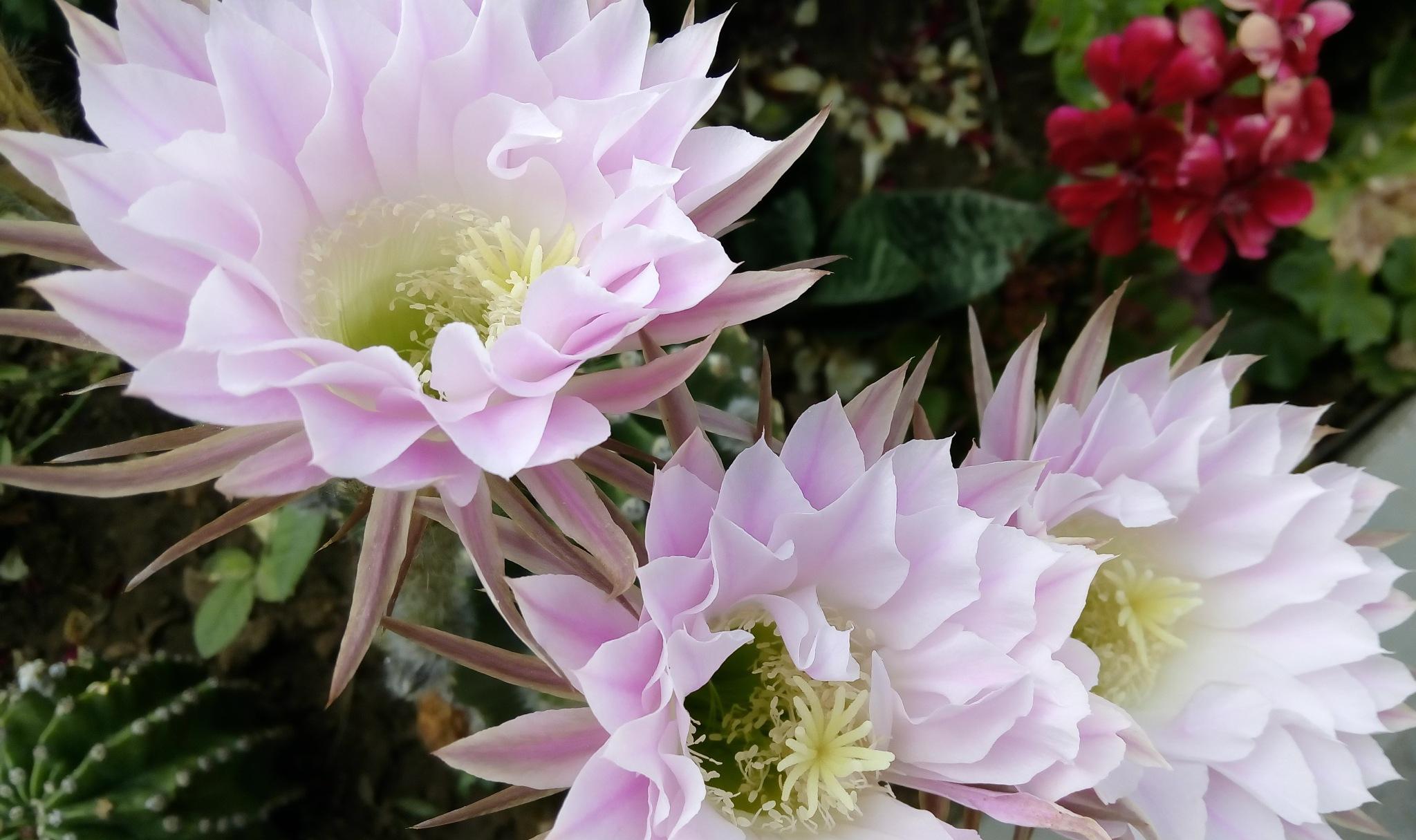 Cactus flowers by Nenad Tasic