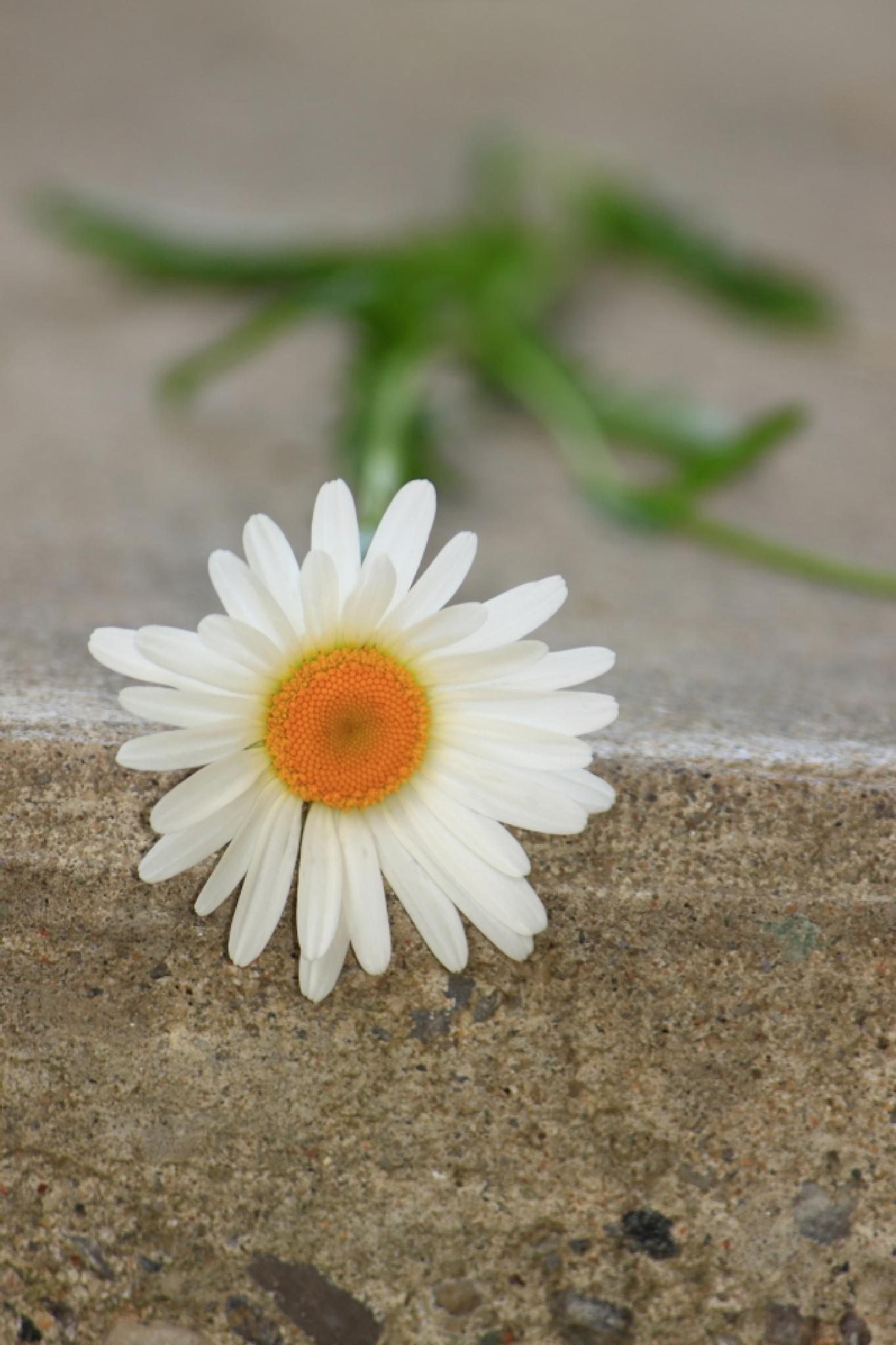 Daisy on a Step by JaniceArnottPhotography