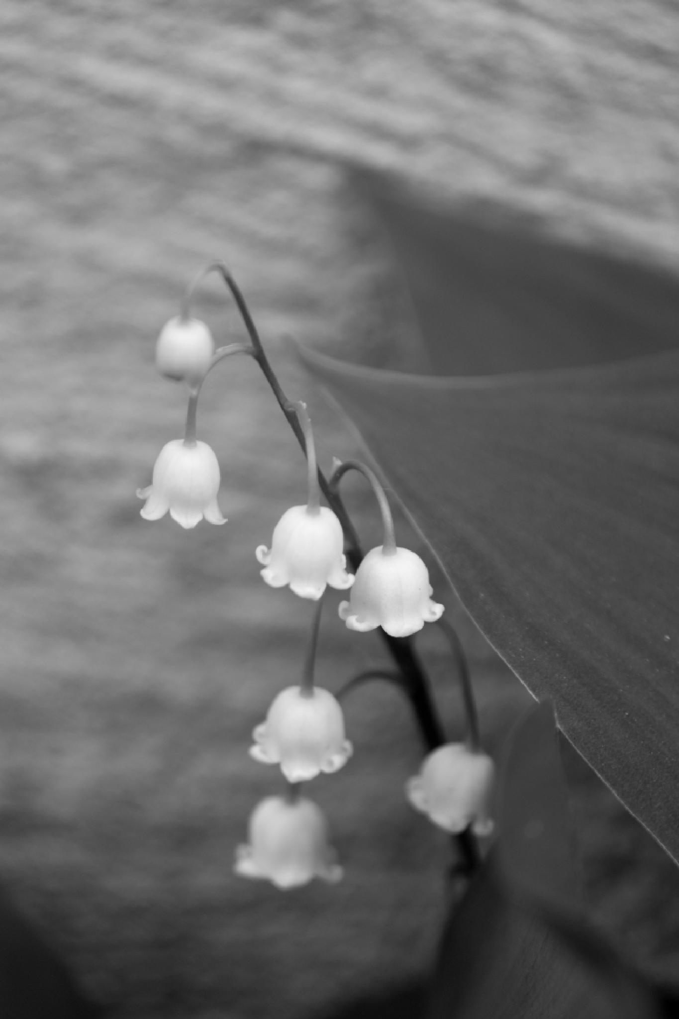 Lily of the Valley by JaniceArnottPhotography