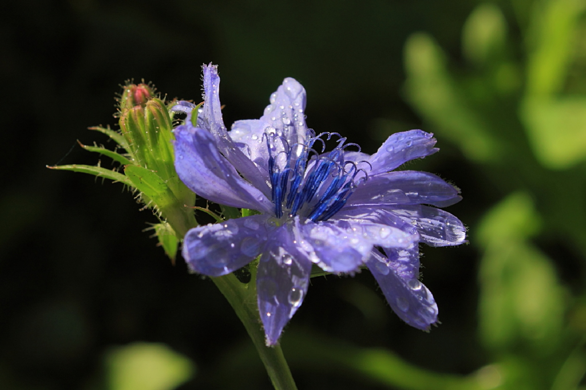 Drops on Wildflower by JaniceArnottPhotography