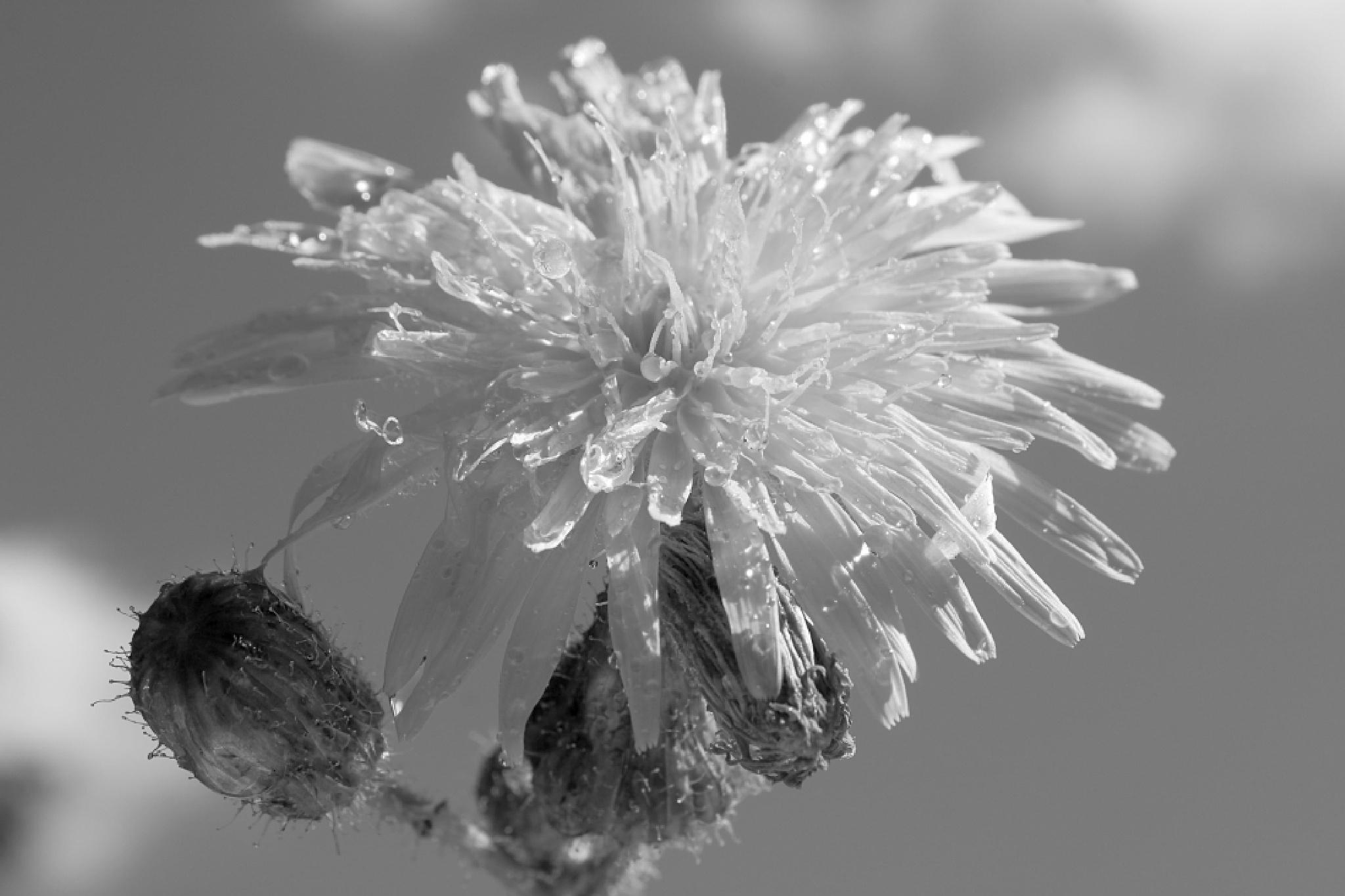 Dandelion B&W by JaniceArnottPhotography
