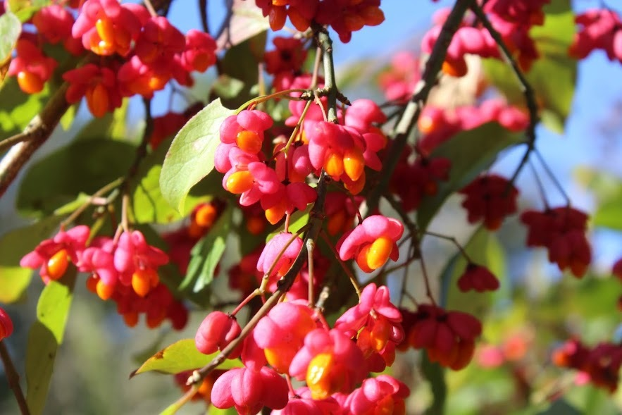 Spindle Berry by Vile
