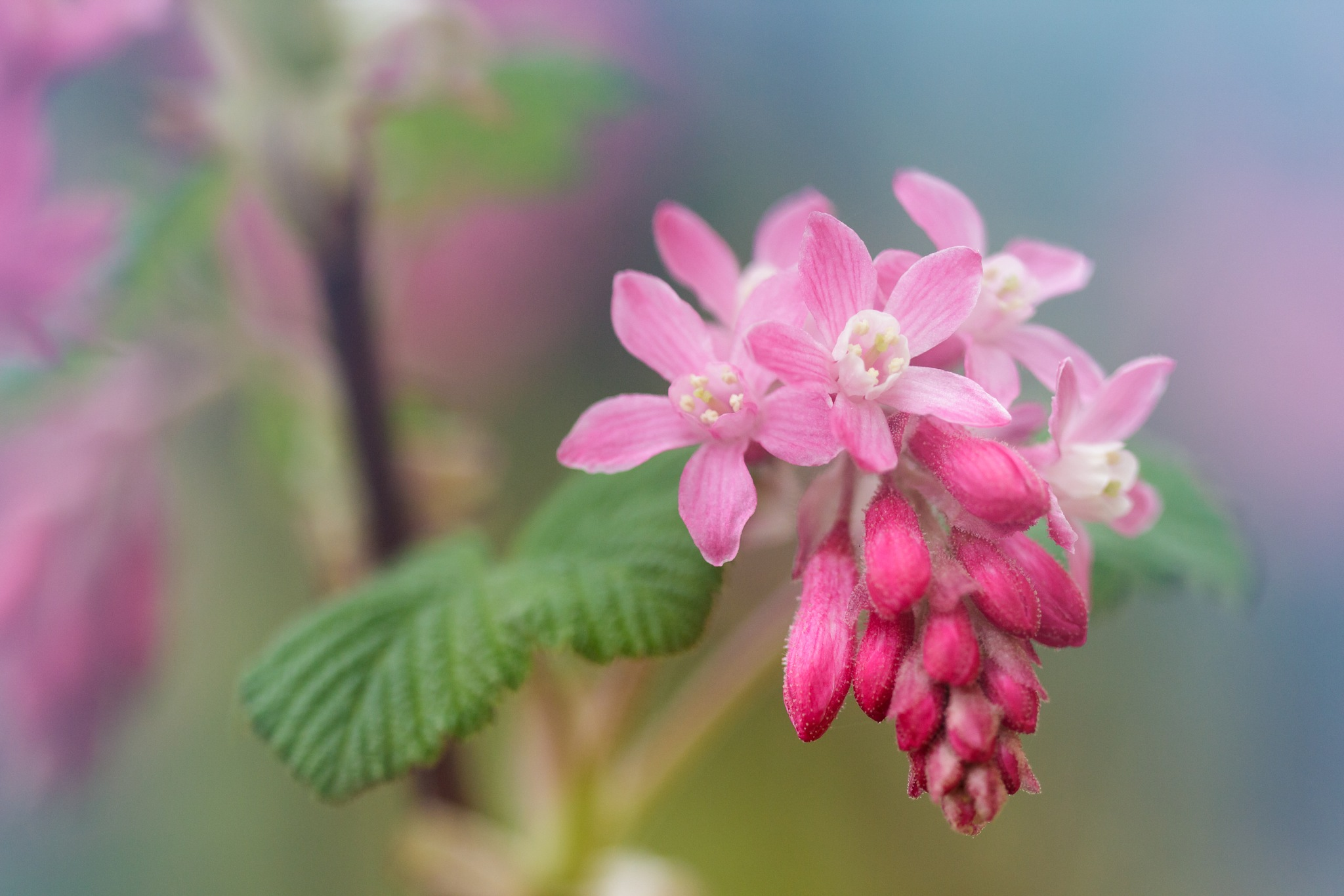 Ribes sanguineum by WillyLangmans
