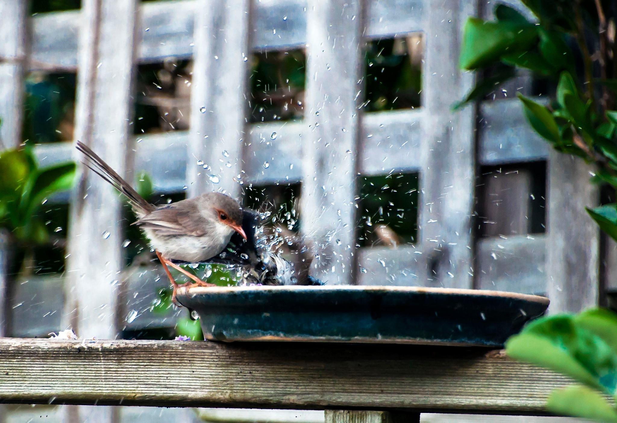 Bird Bath by Jacqueline Rose