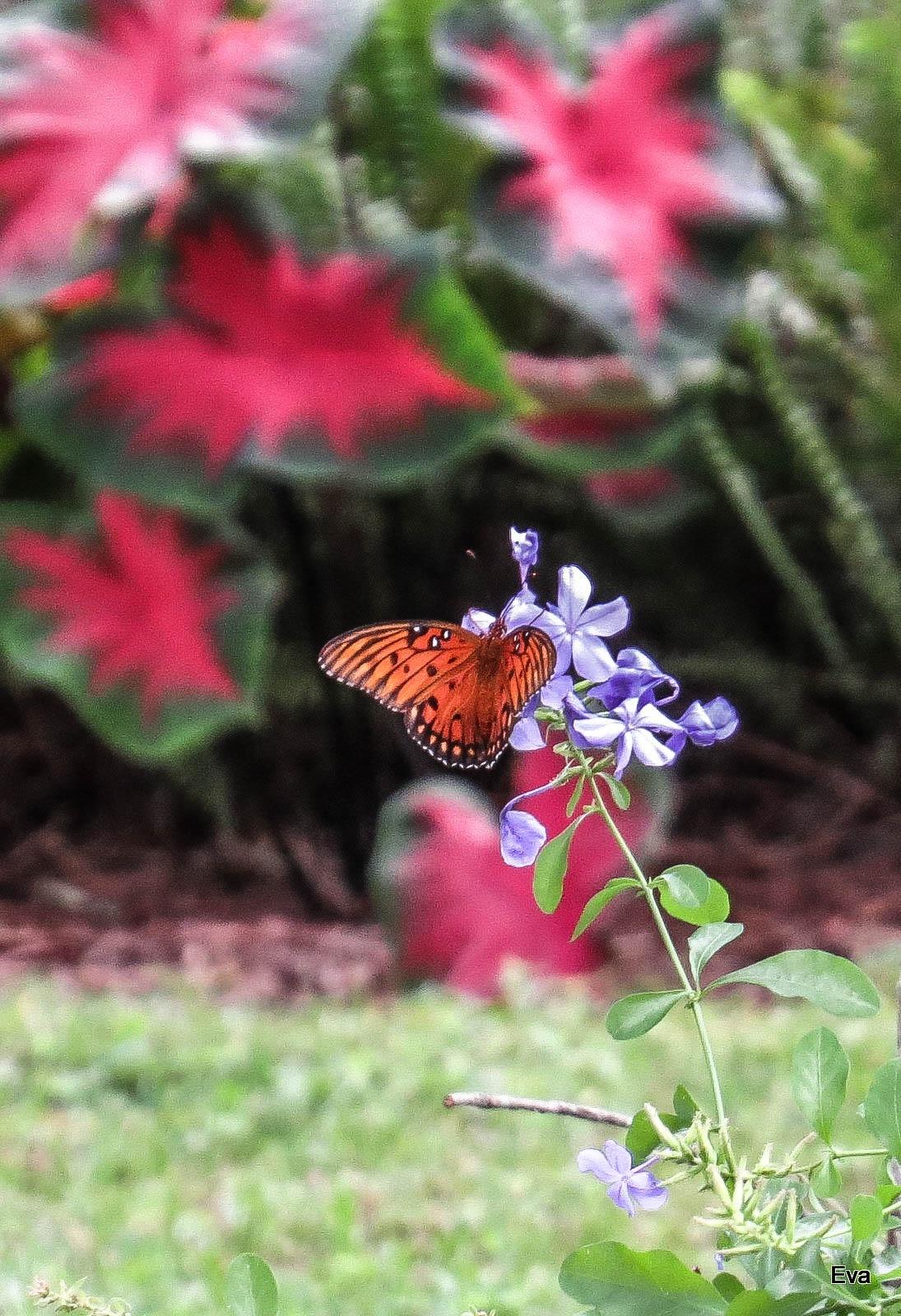 Butterfly on Plumbago blossom by EvaKassler