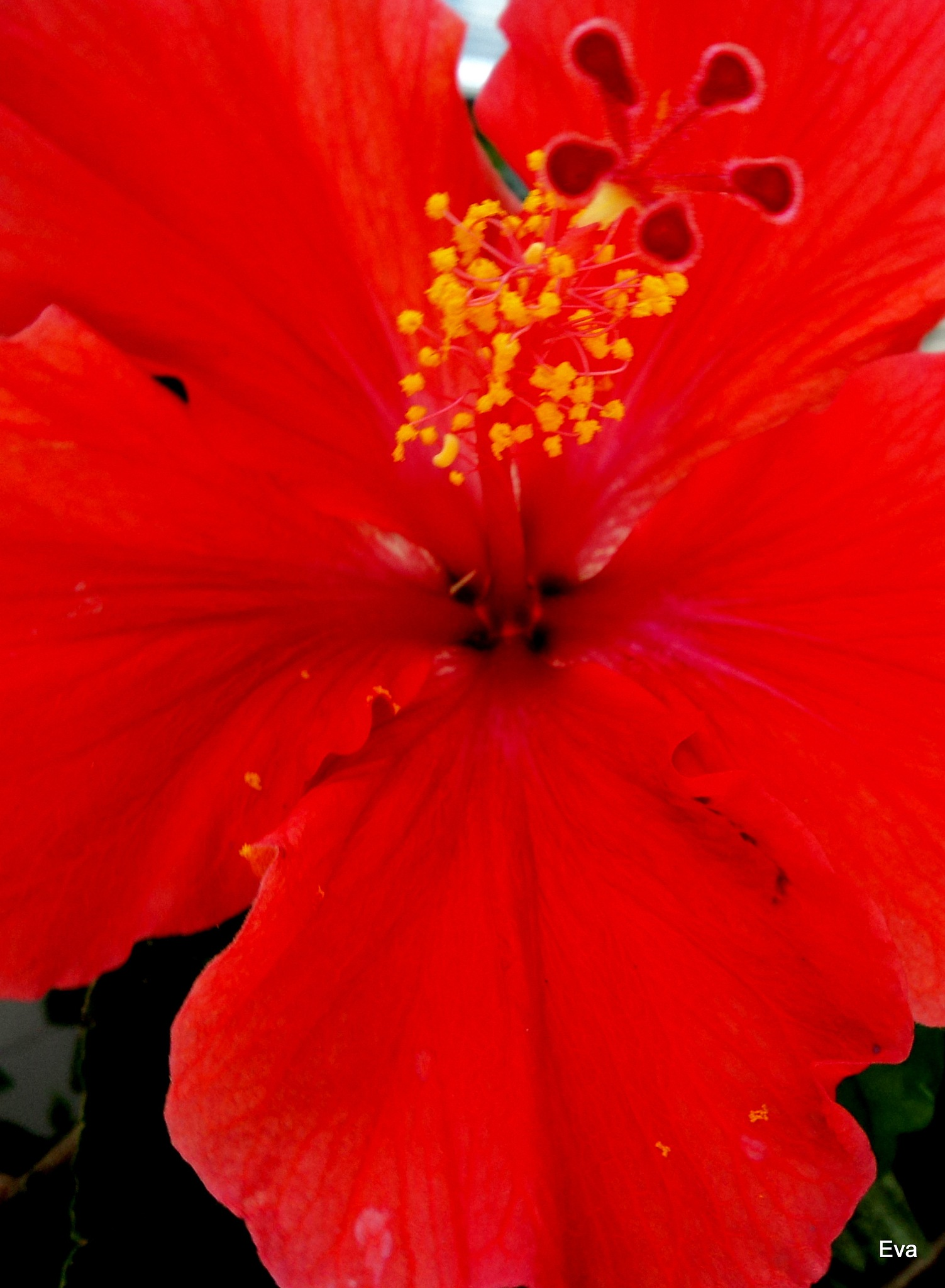 Hibiscus by EvaKassler