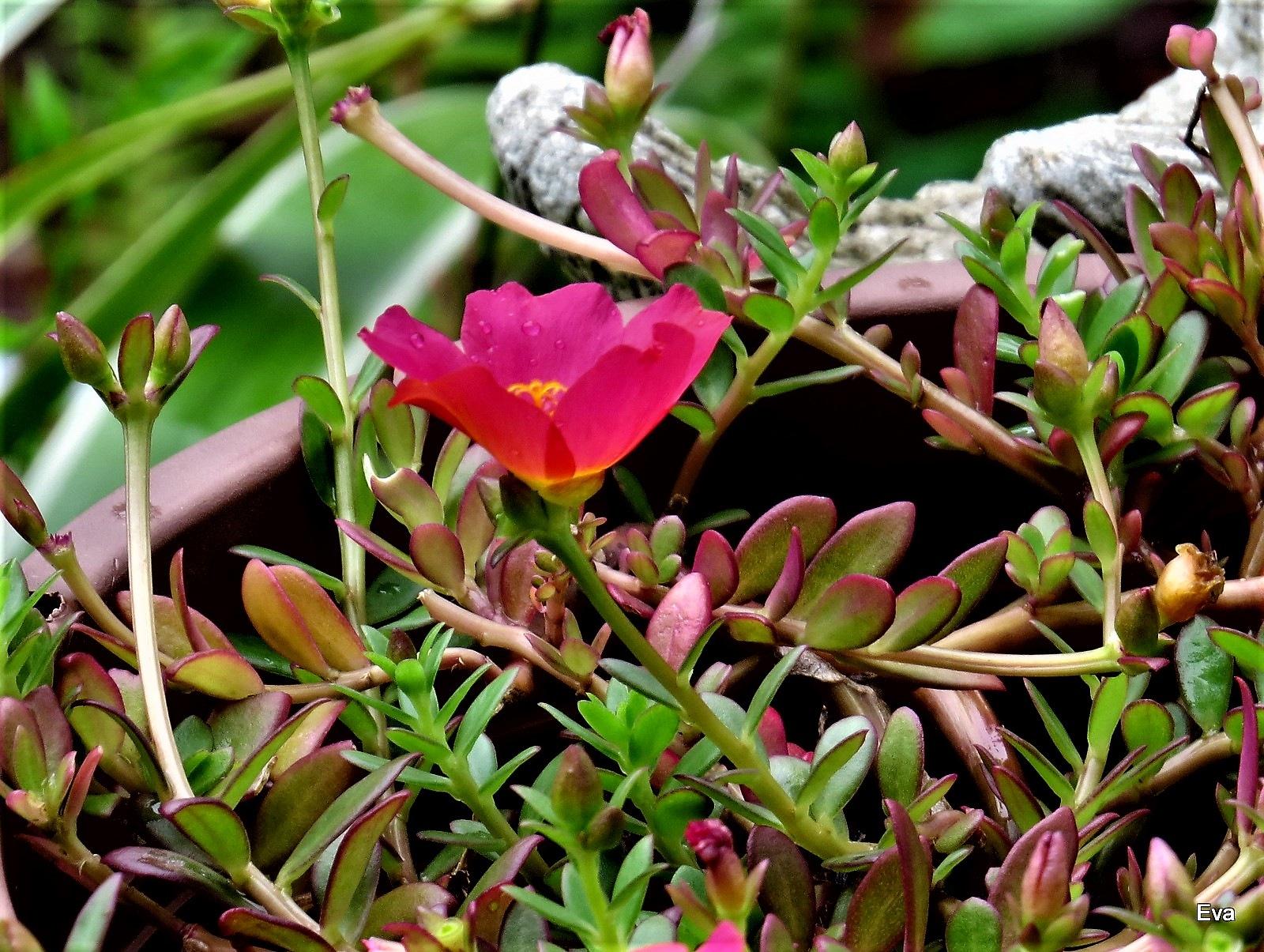 Moss rose, foliage & bloom by EvaKassler