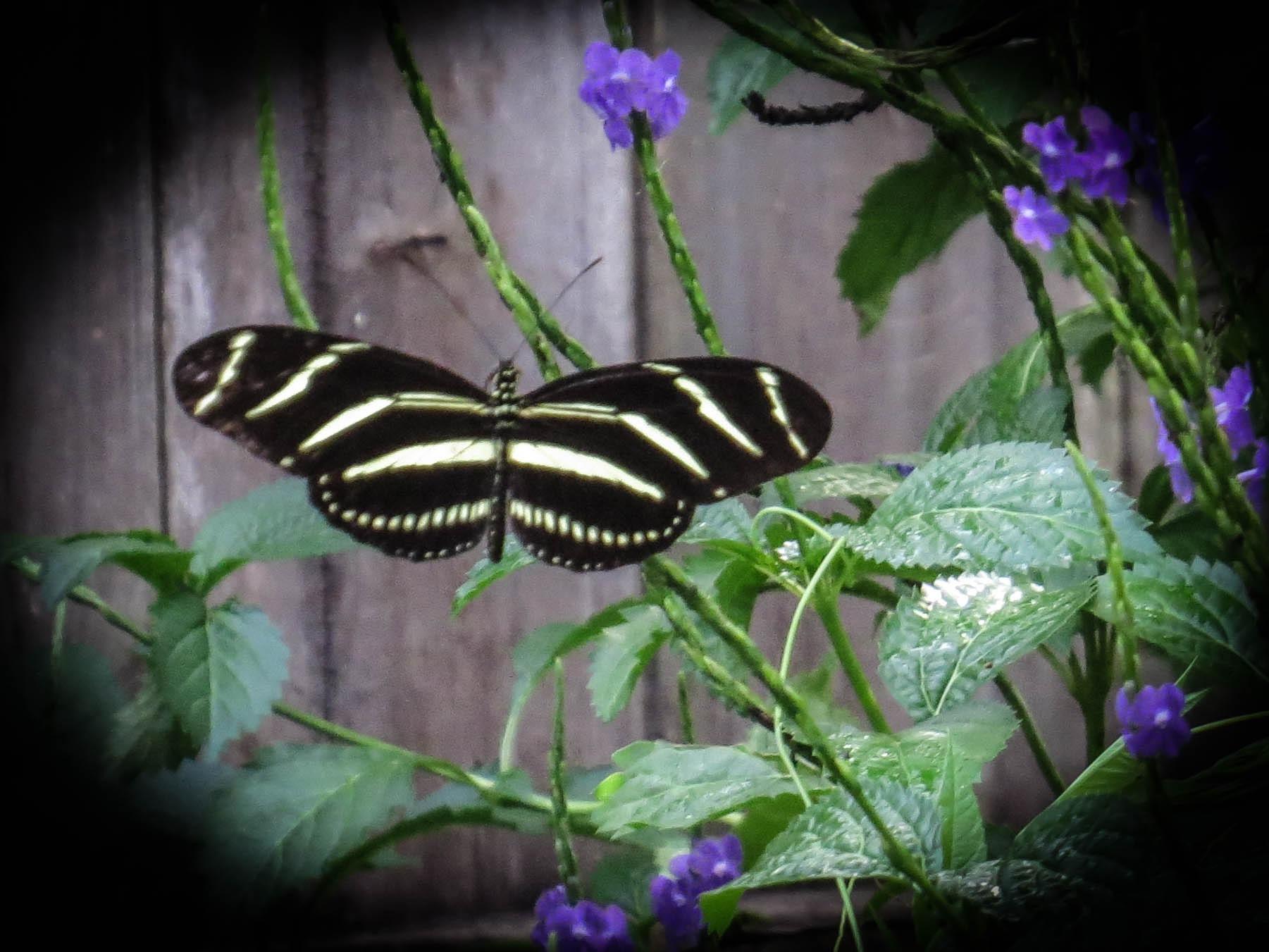 Zebra Longwing..memory of summer by EvaKassler