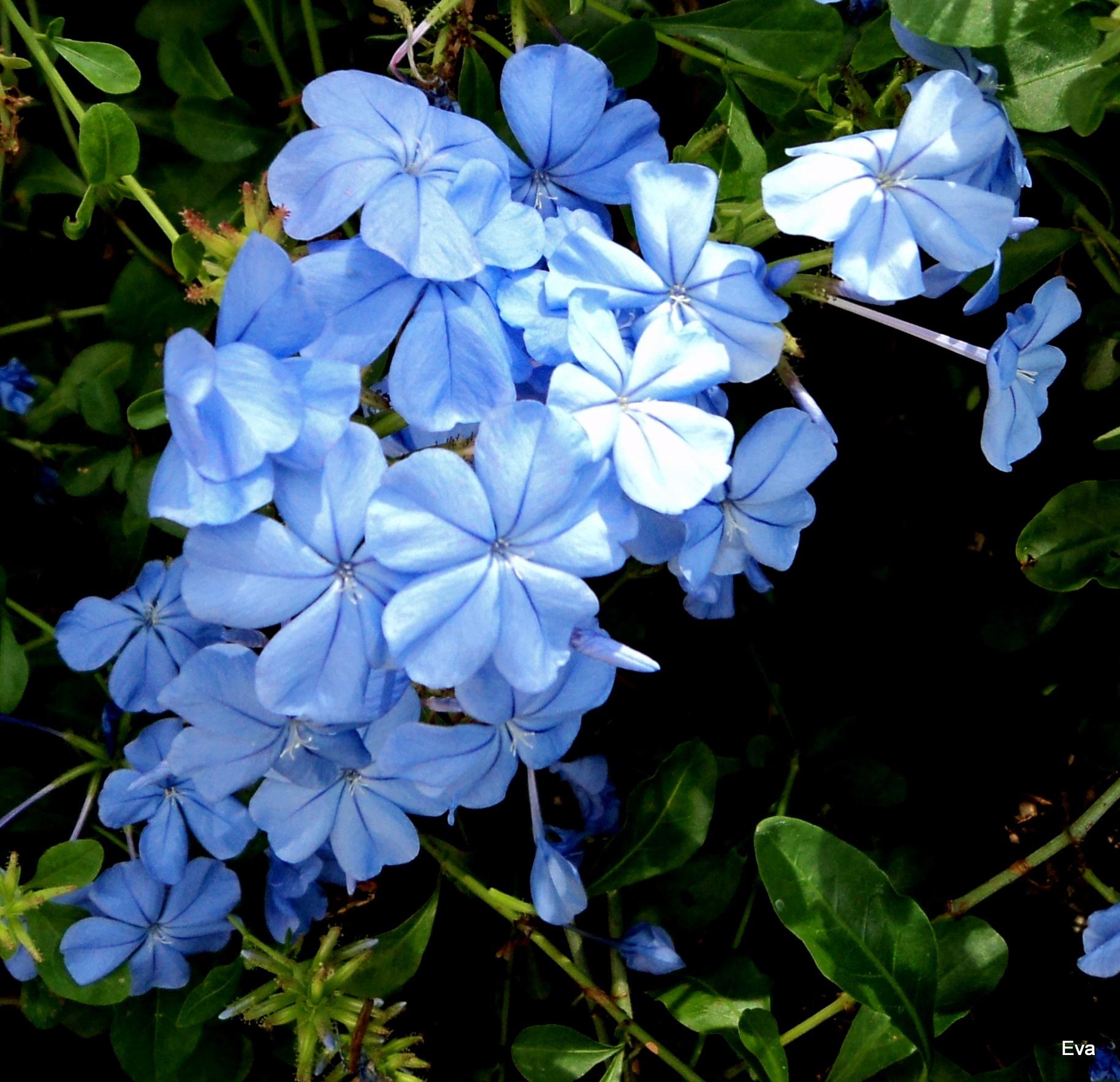 Plumbago blossom by EvaKassler
