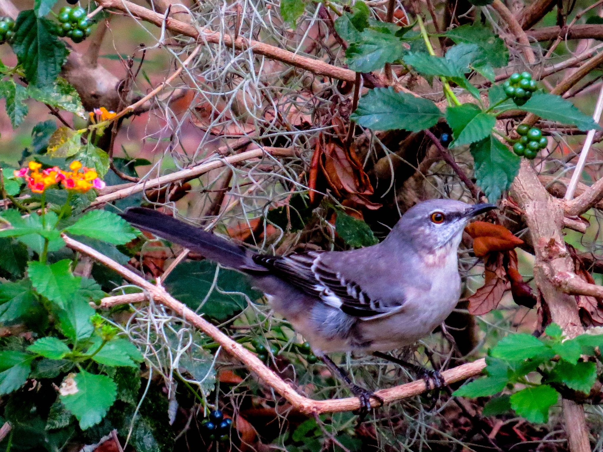 Mockingbird in the lantana.. by EvaKassler