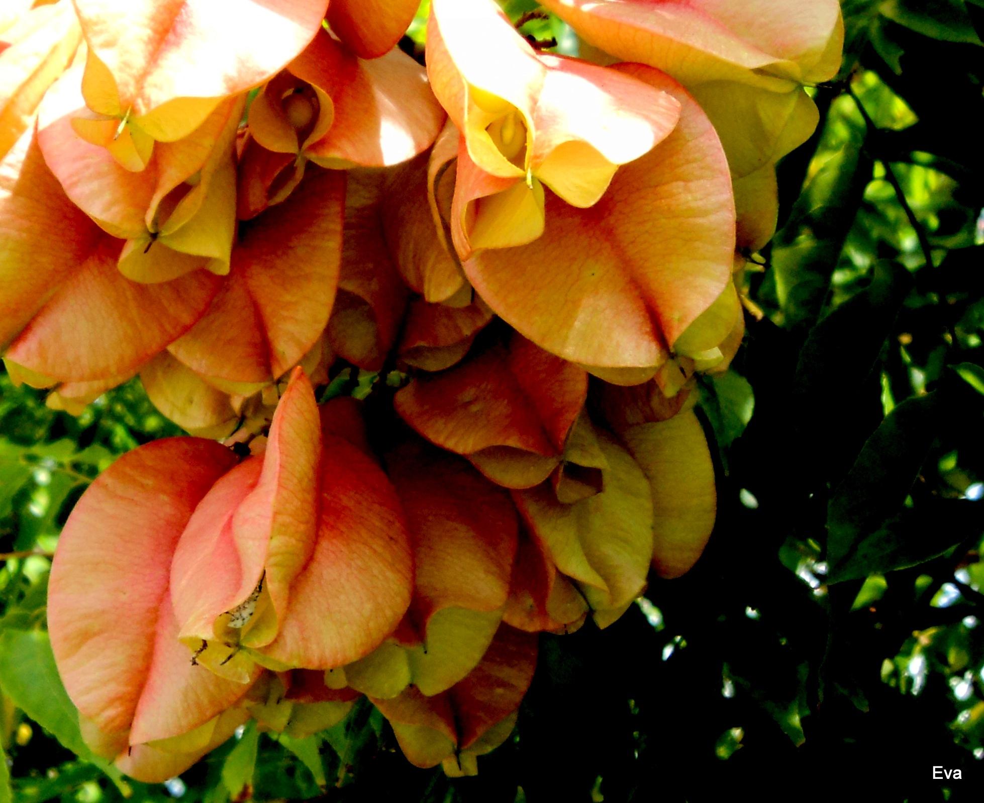 Maturing seed pods; golden rain tree by EvaKassler