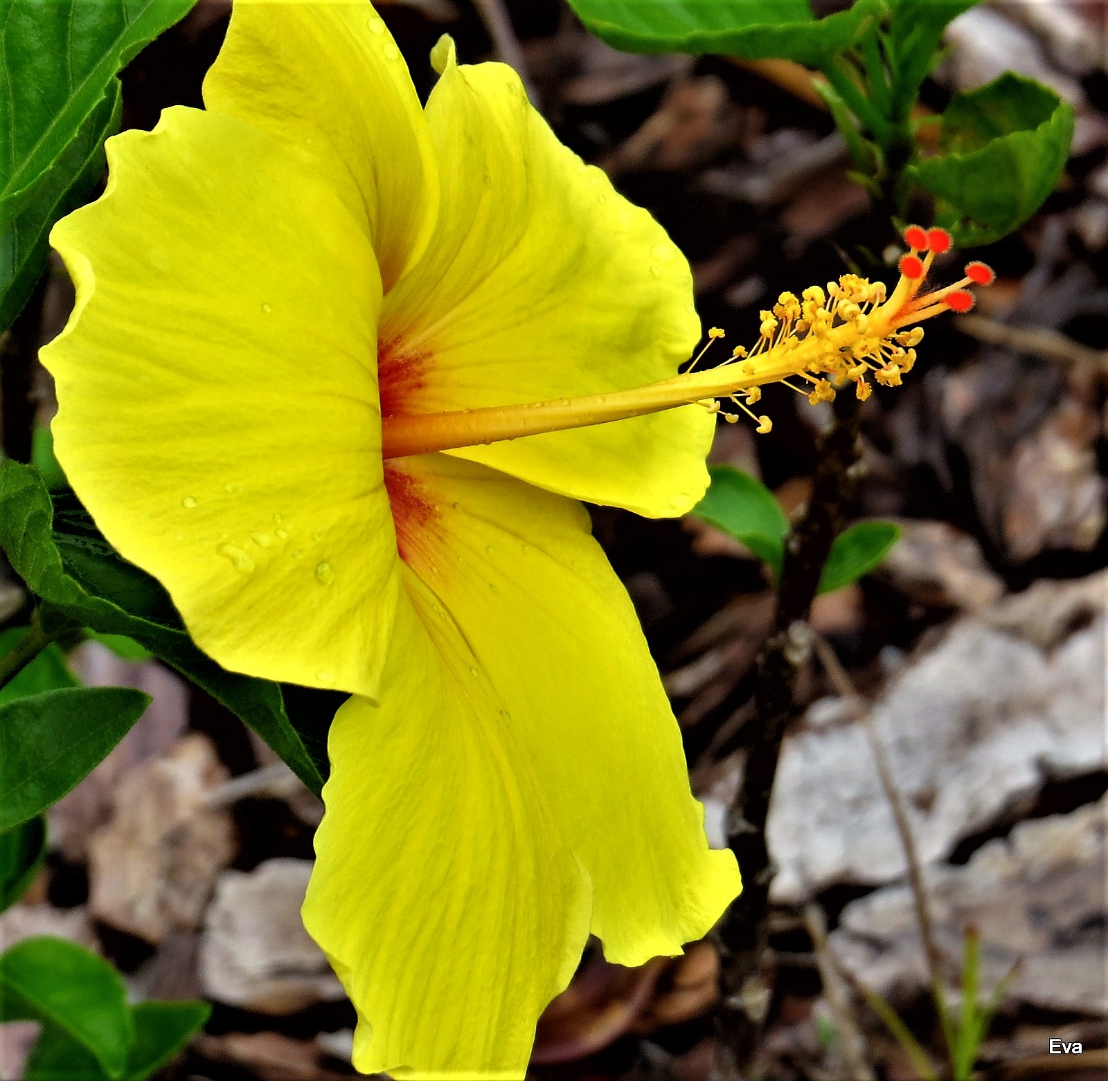 Hibiscus by EvaKassler