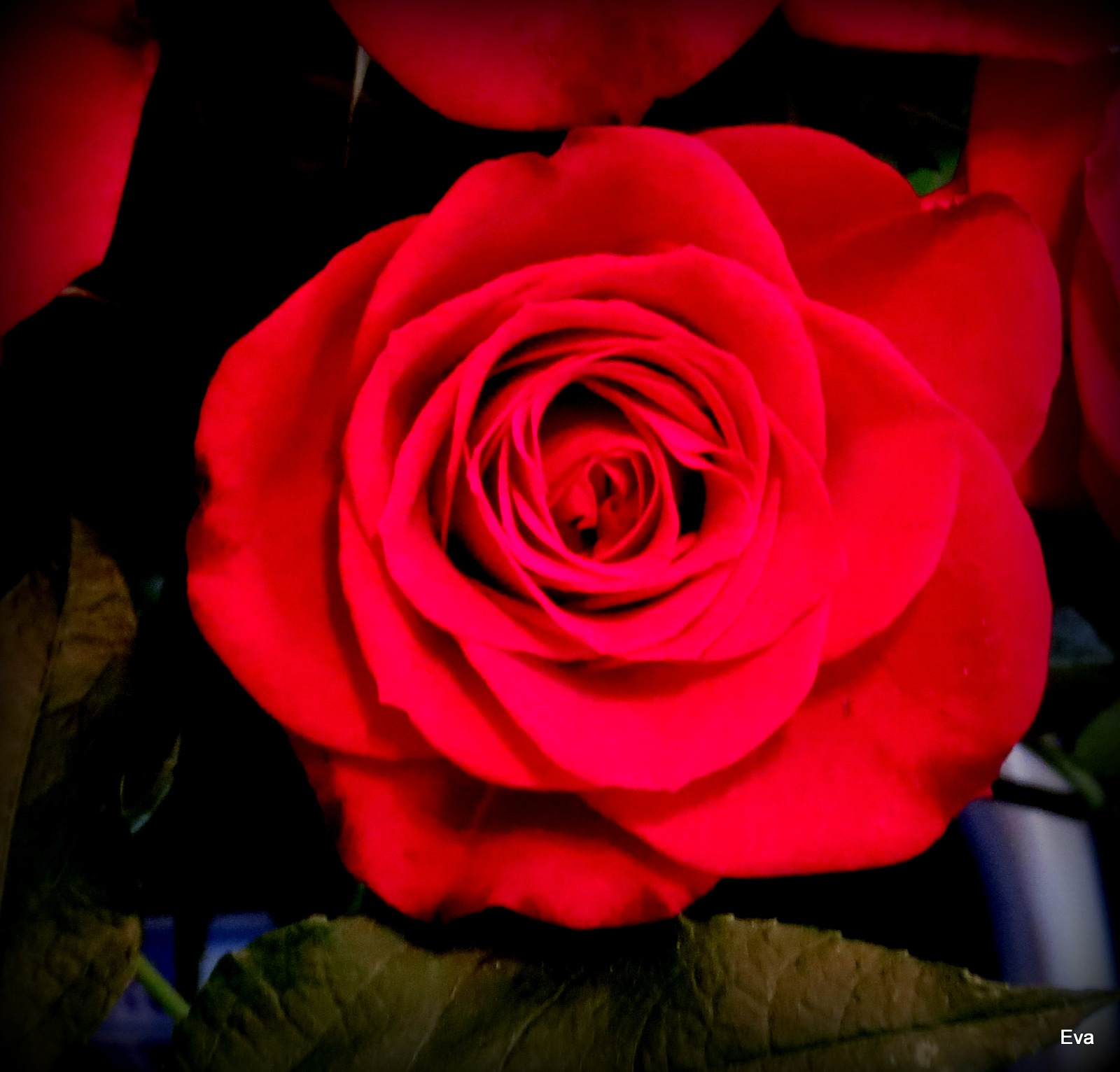 Red, Red rose by EvaKassler