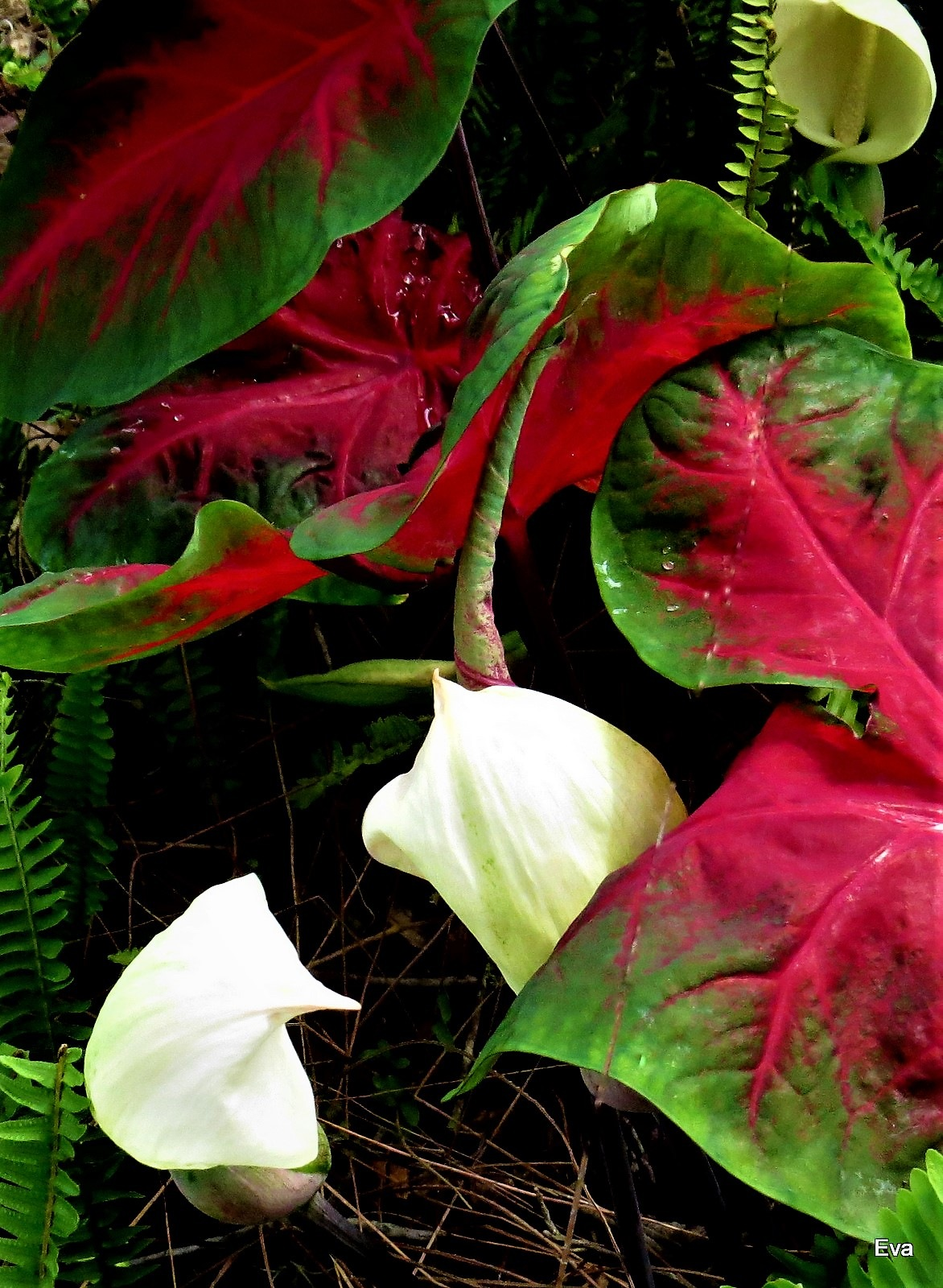 Caladiums with blooms by EvaKassler