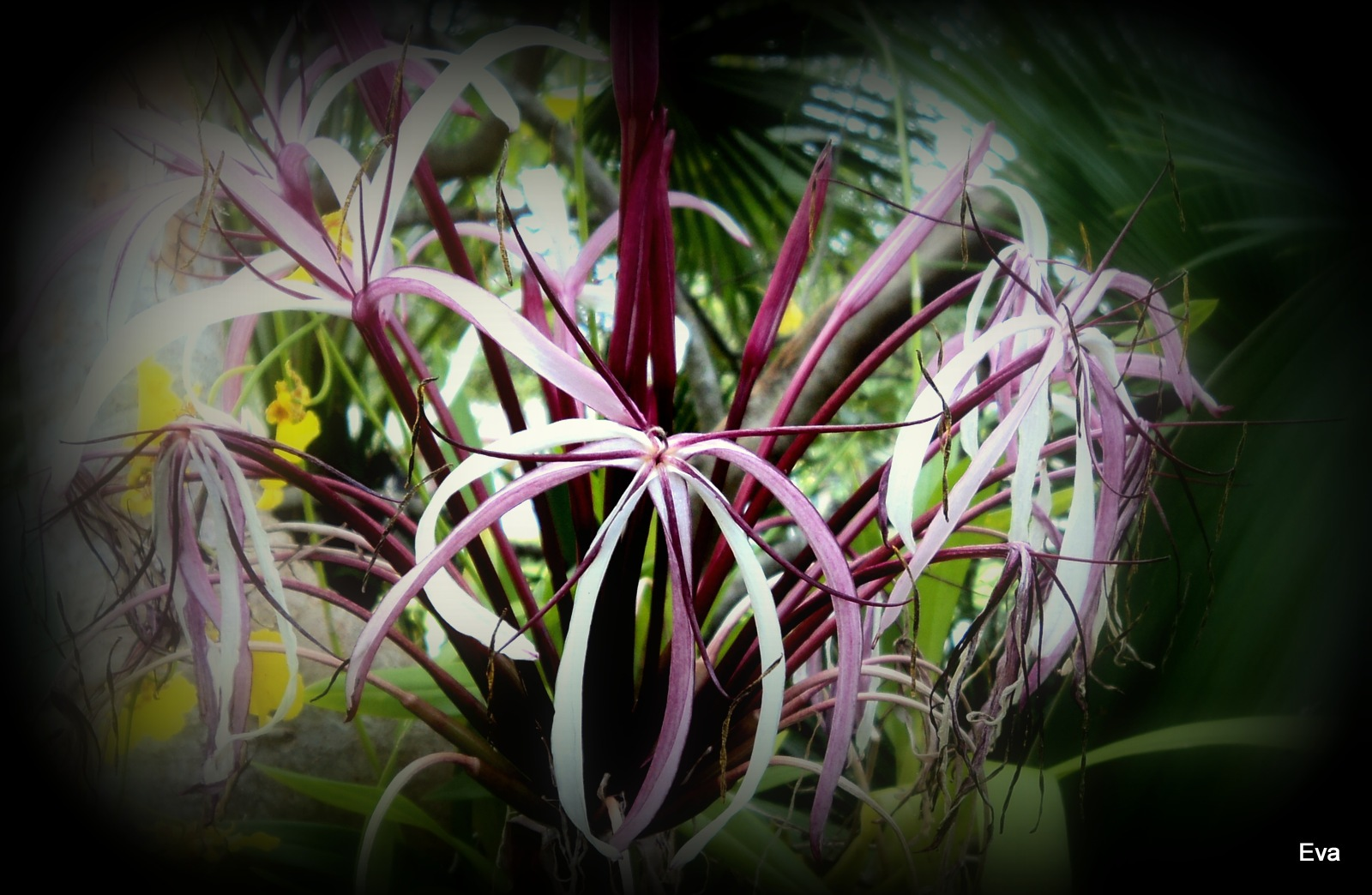 Crinum lily by EvaKassler