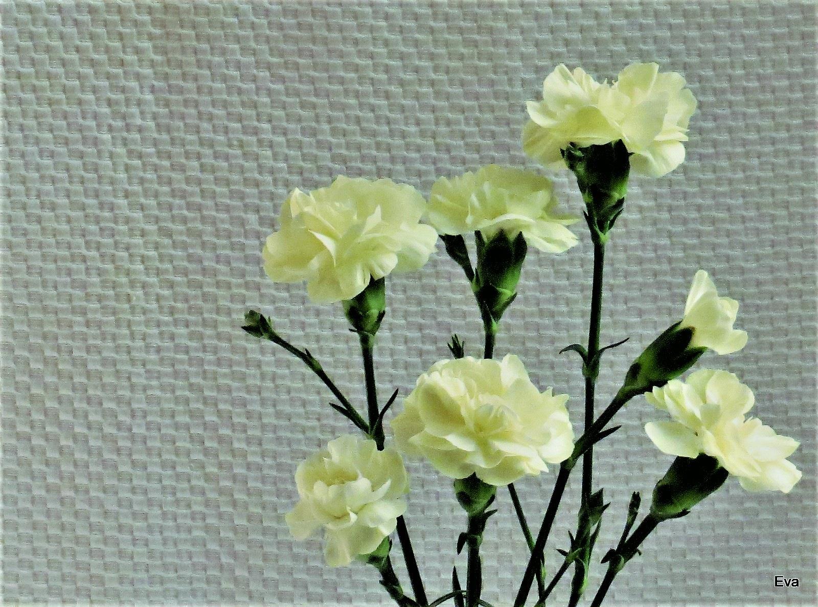Carnations by EvaKassler