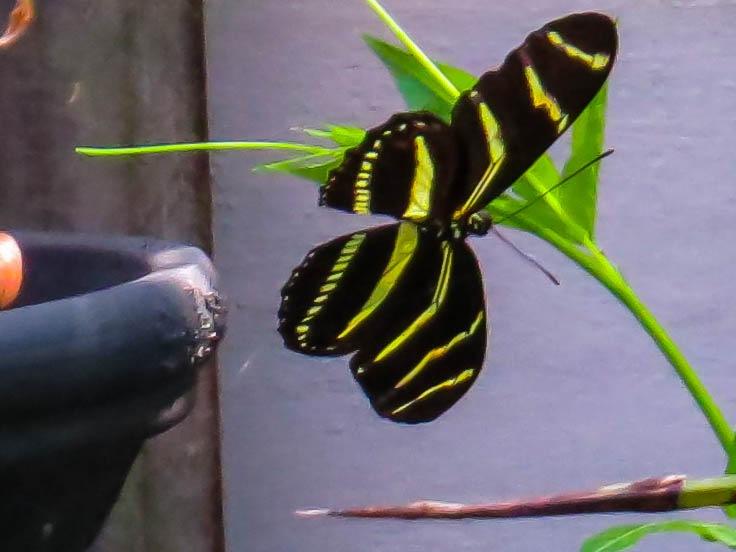 Butterfly, zebra longwing by EvaKassler