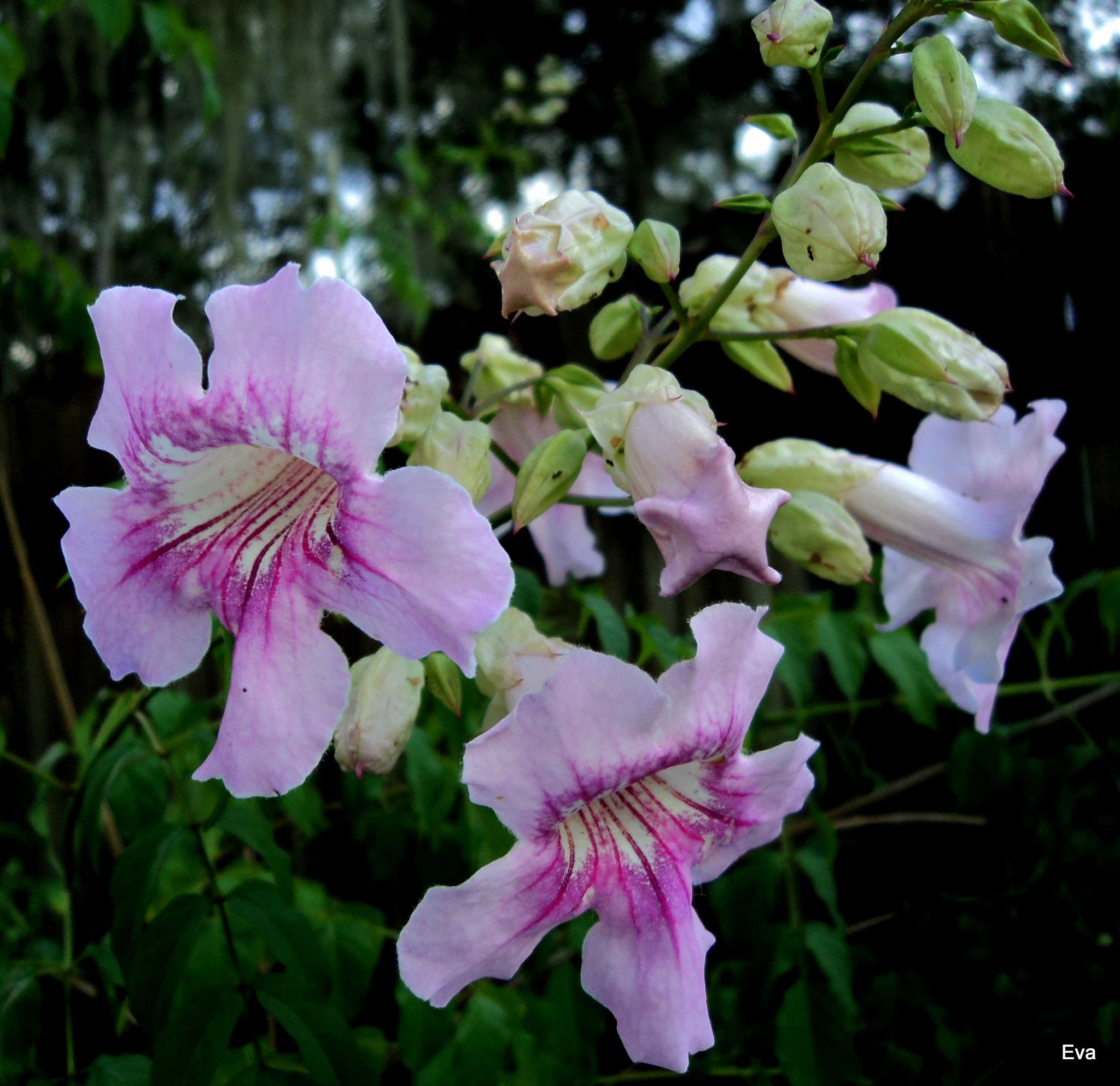 Cluster of trumpet vine blooms by EvaKassler