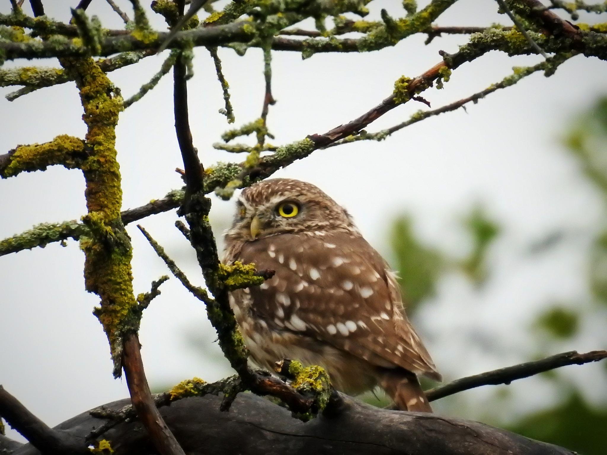 Owl by olcsi9