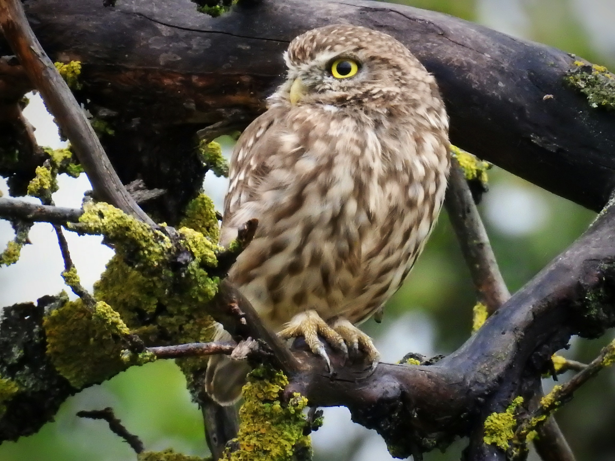 Screech-owl by olcsi9