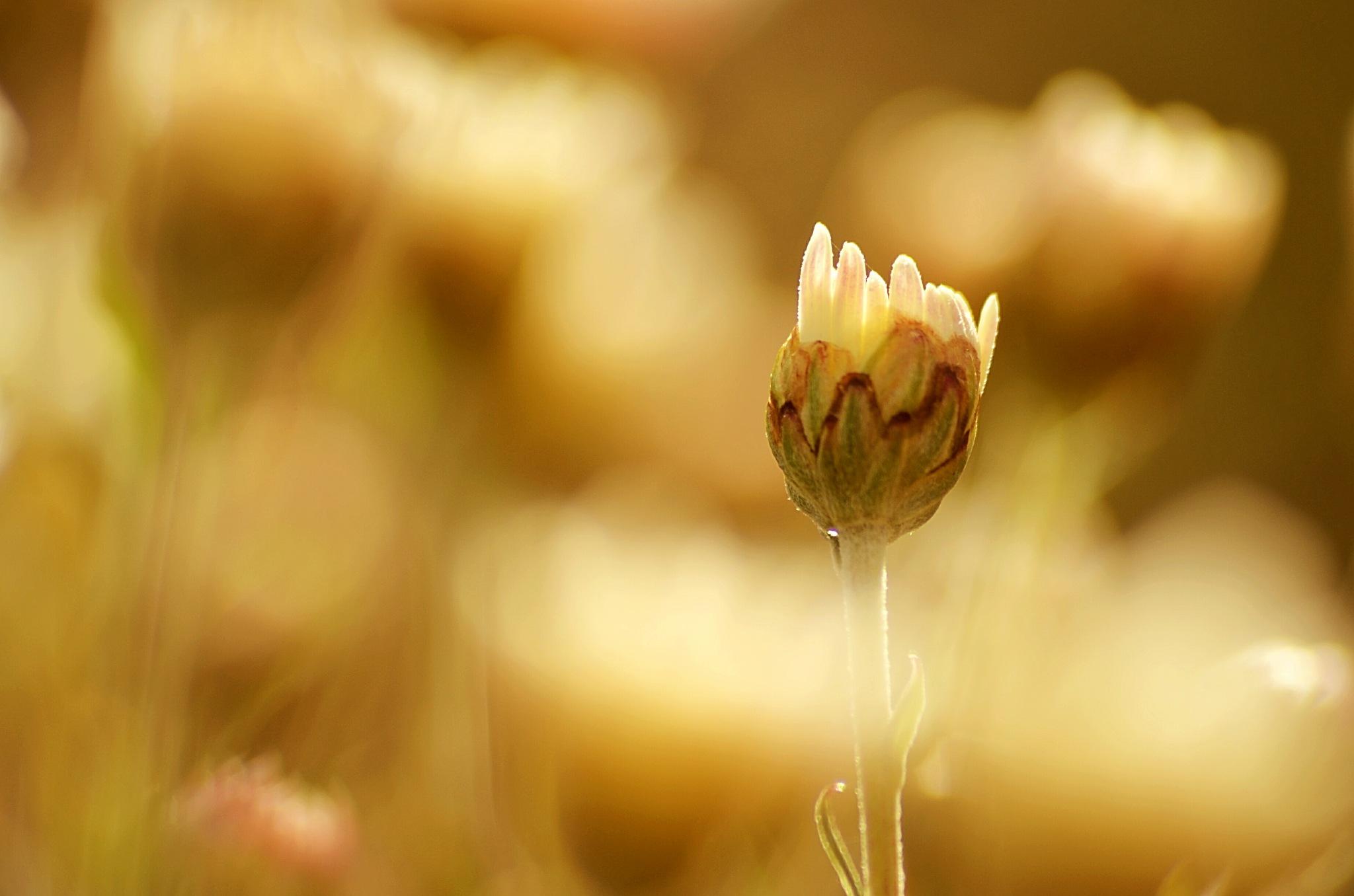 Flower by olcsi9