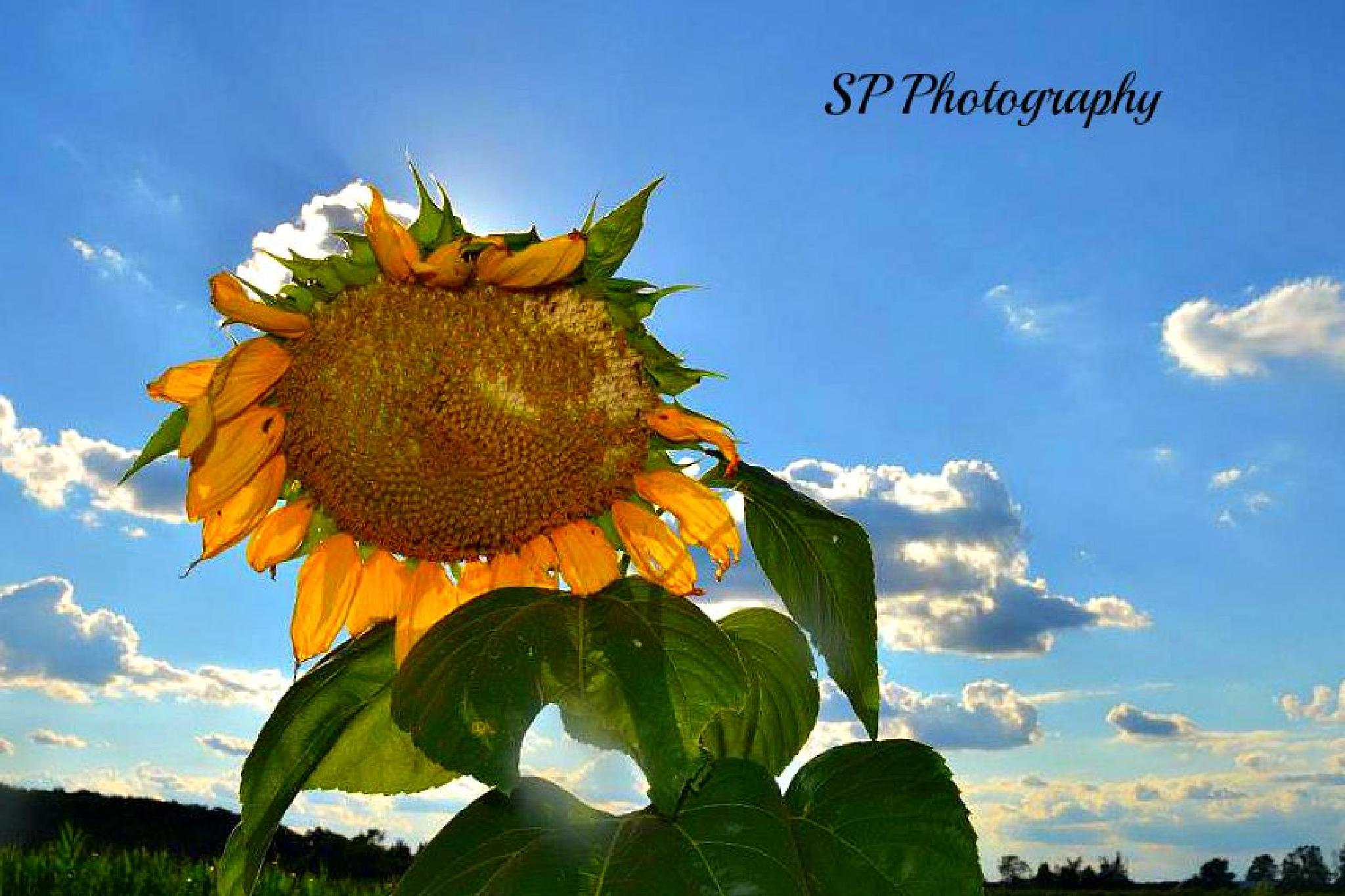 Sunflower by Sharon Patterson