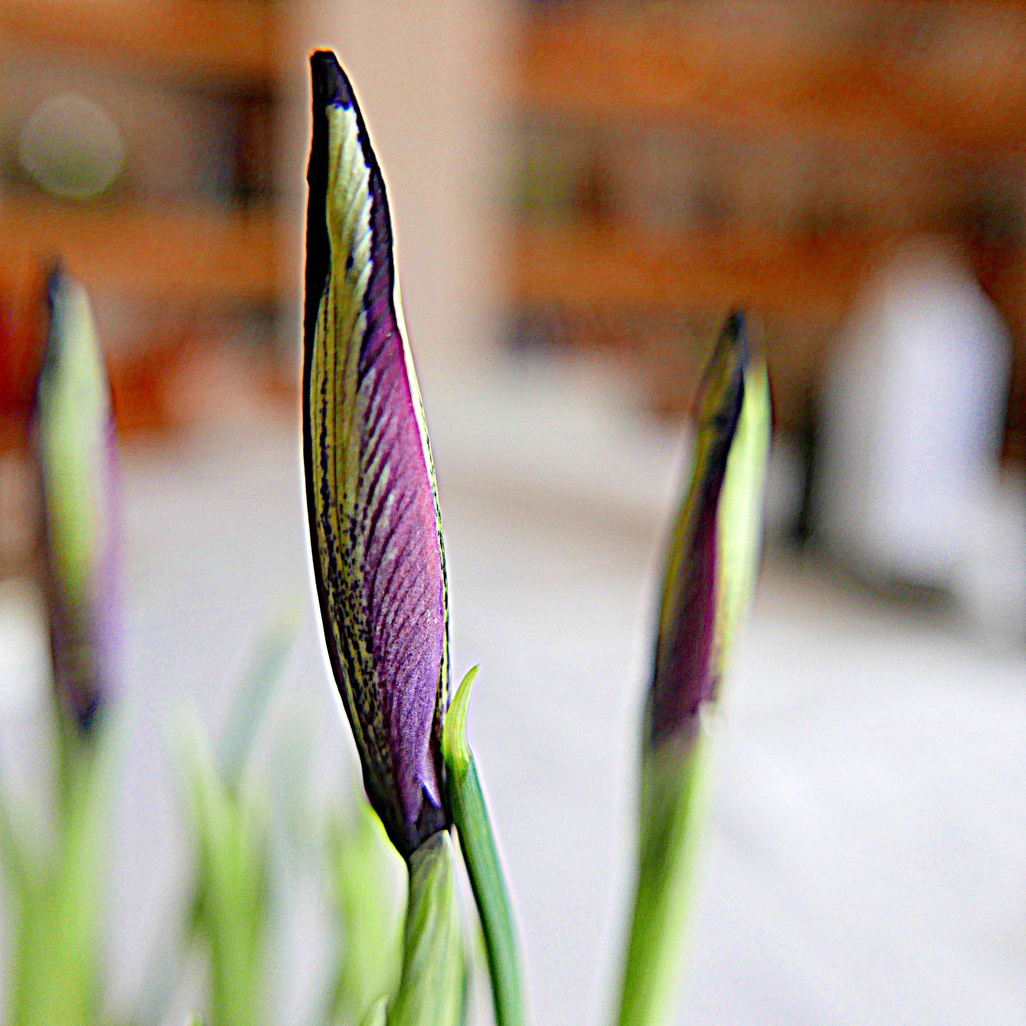 bouton d'iris by Mina Elvé