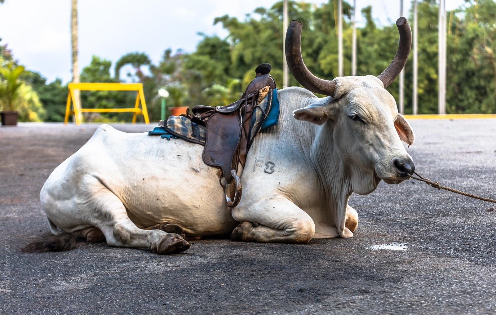 Photo in Animal #cuba #vienales #pinar del rio #animal #riding #caribbean #south america #travel #holiday #communist