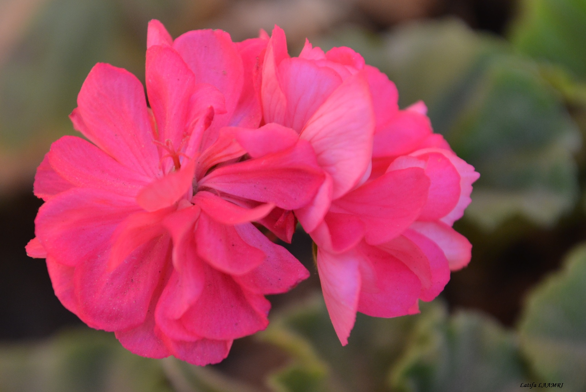Pink flower by loli1