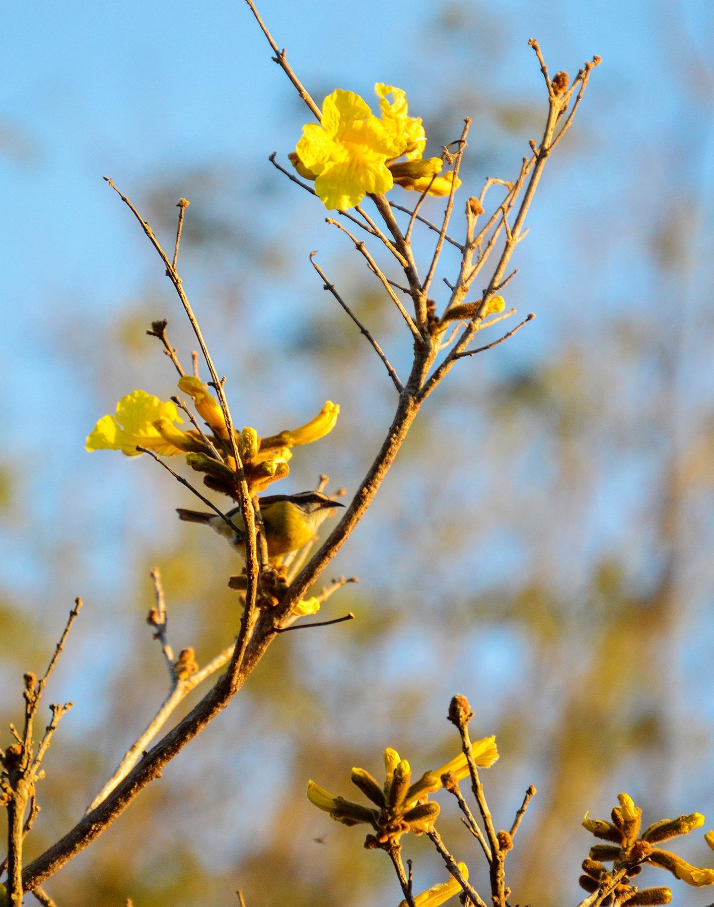 Cerrado Flower by Luiz Caju