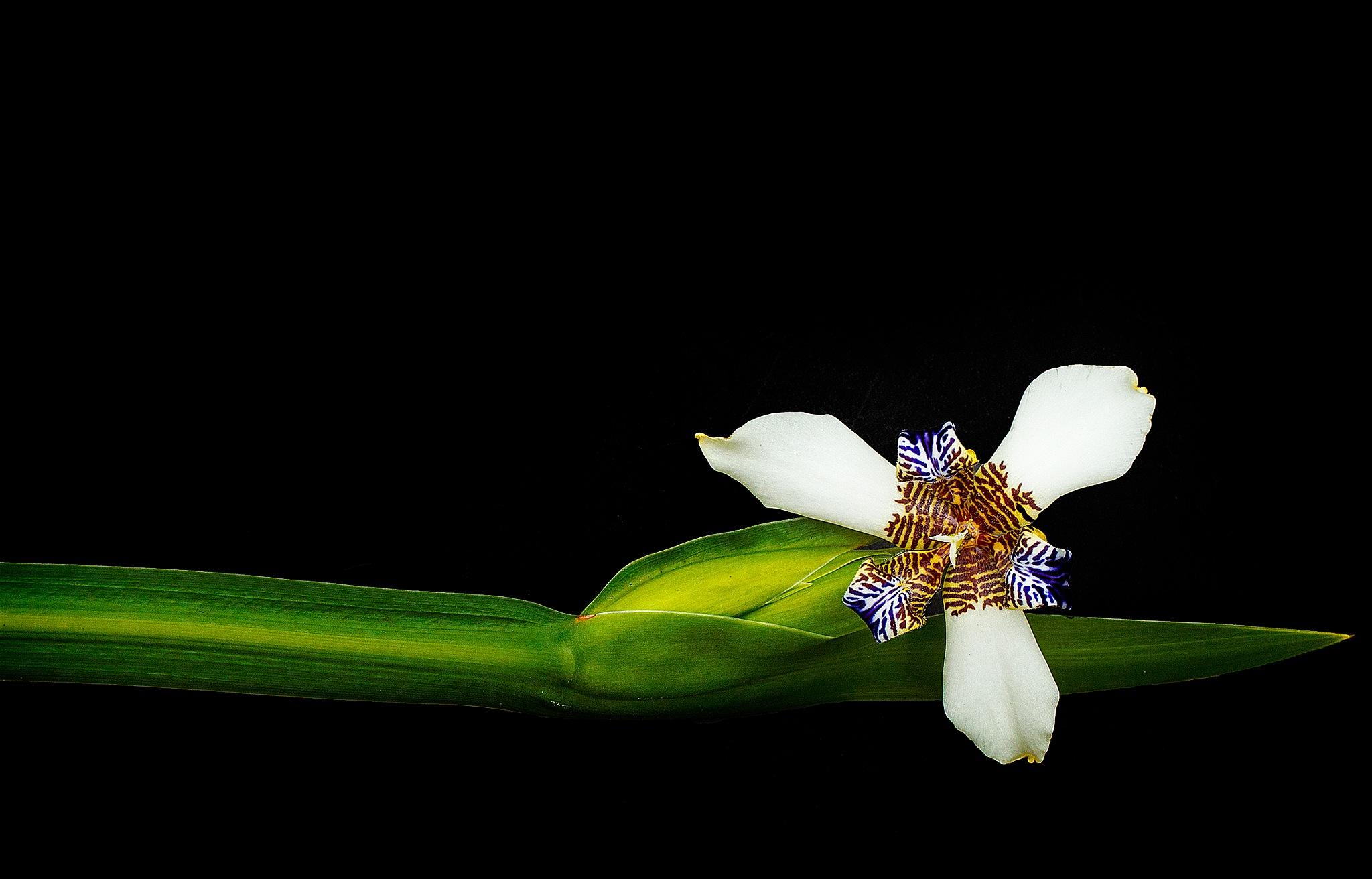 Iris by Luiz Caju
