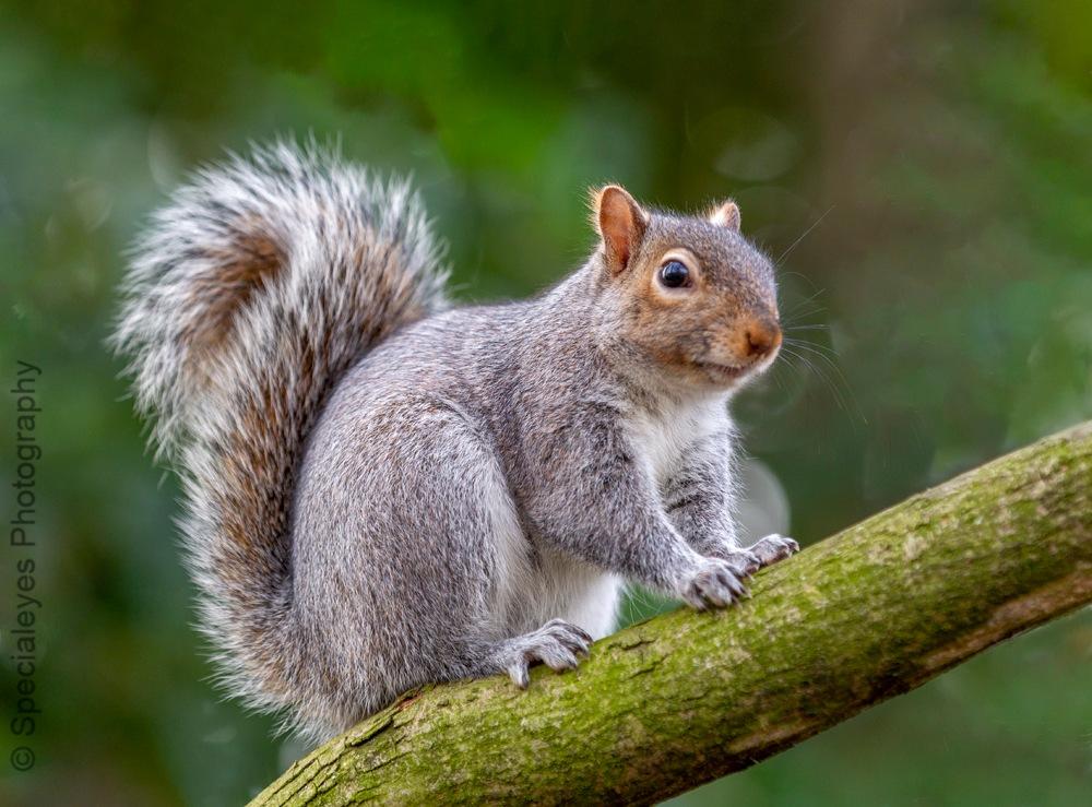 Grey squirrel by stephenjenkins