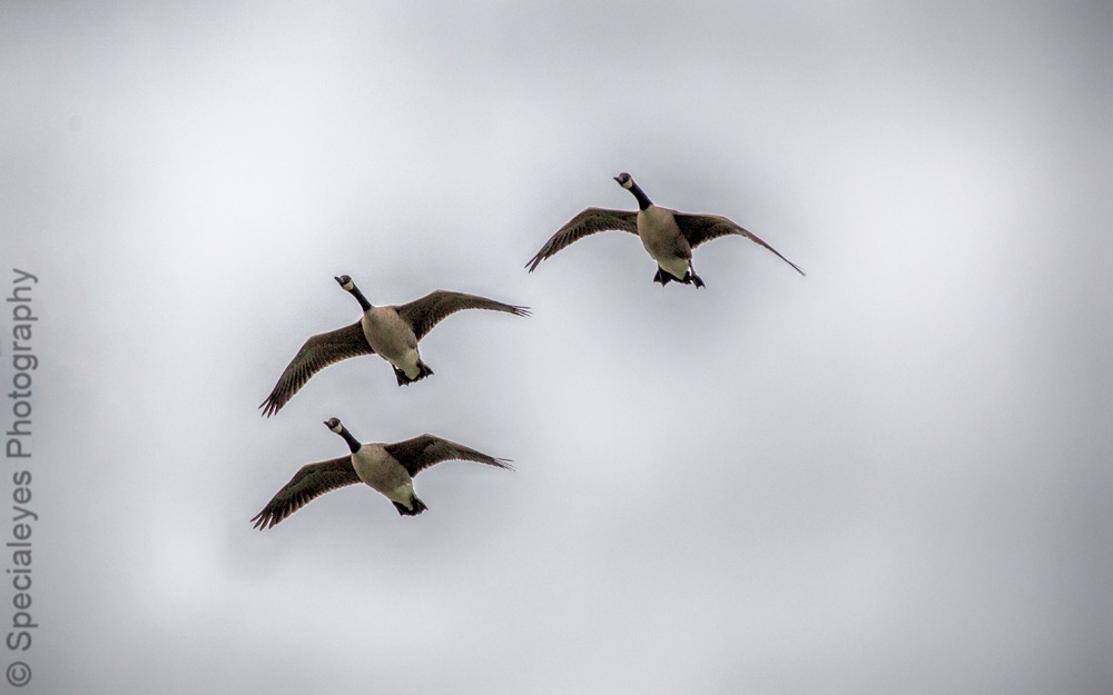 Canadian geese on the wing by stephenjenkins