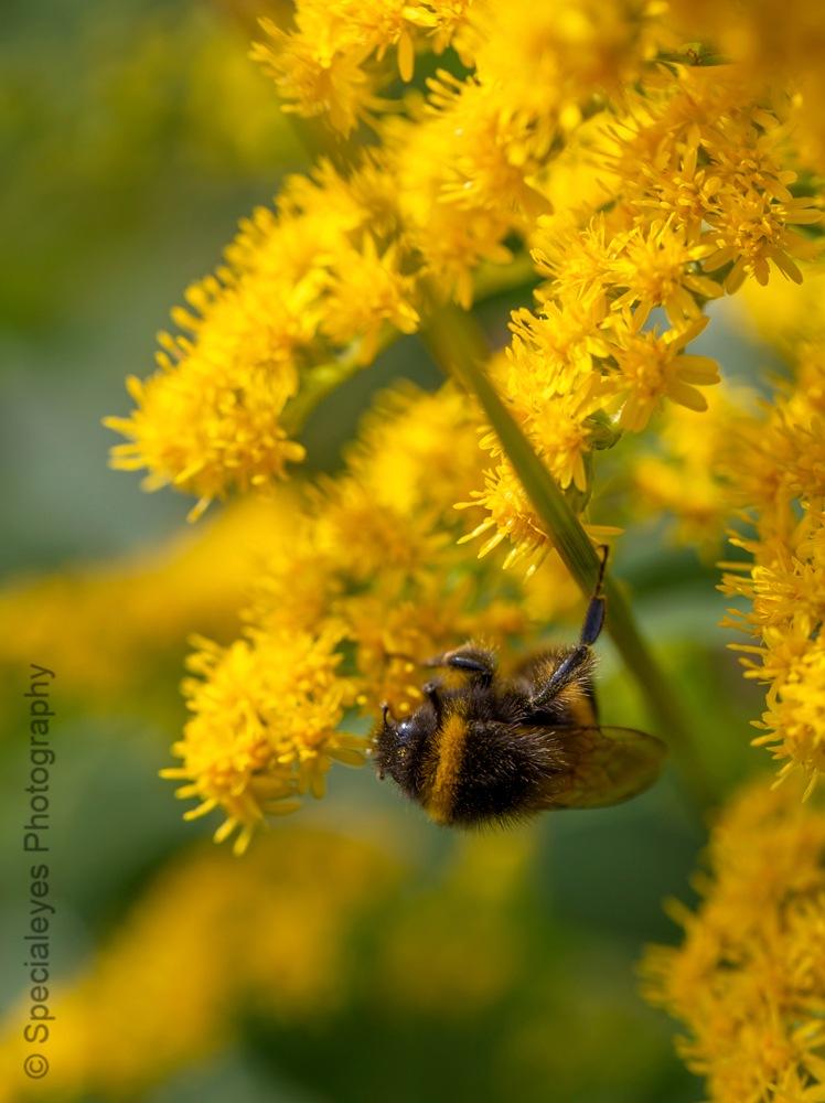 Bumble bee by stephenjenkins