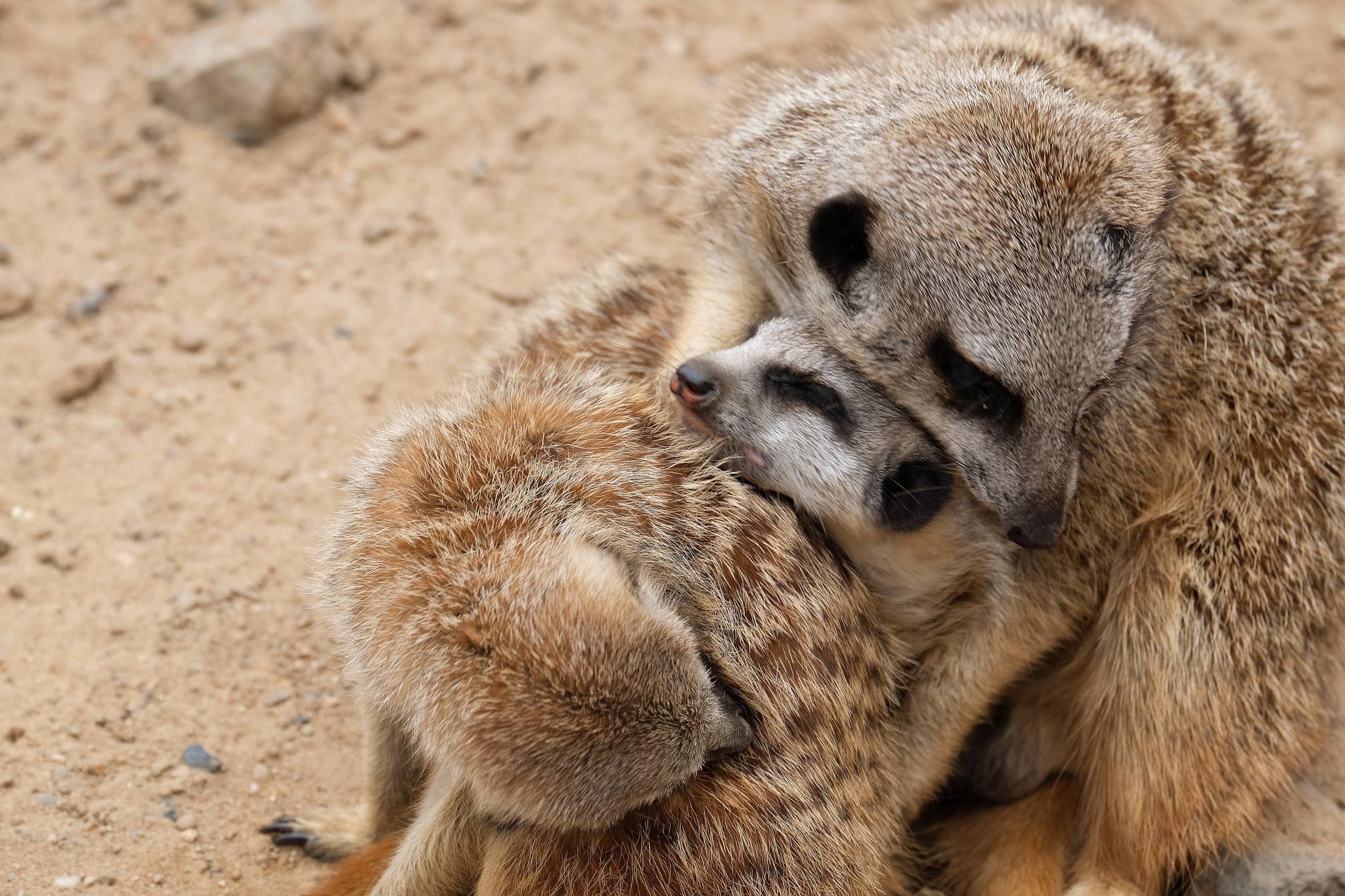 meercat loving her babies  by Christel Mantel
