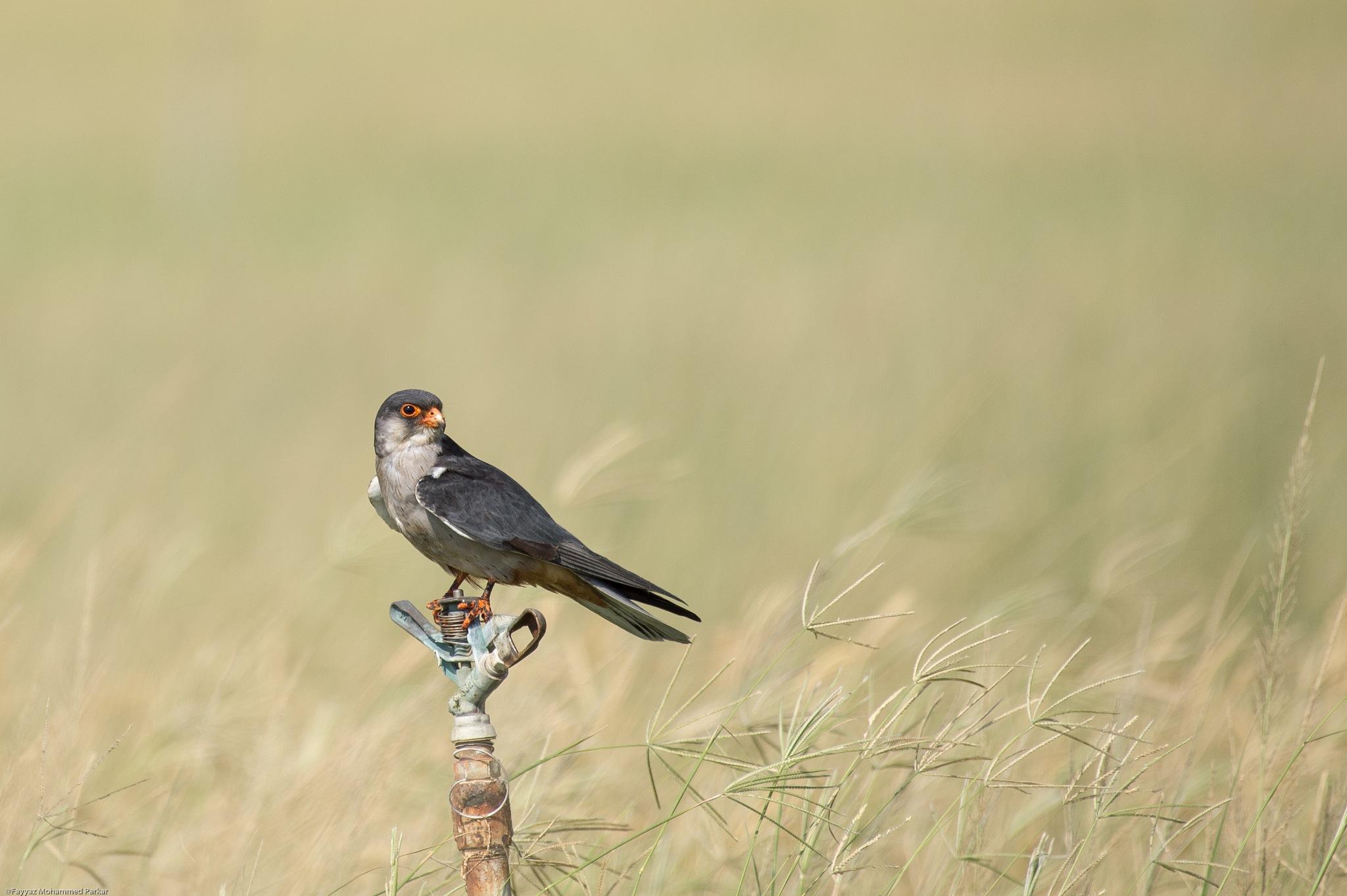 Gracious Poise - Amur Falcon by Fayyaz Mohammed Parkar