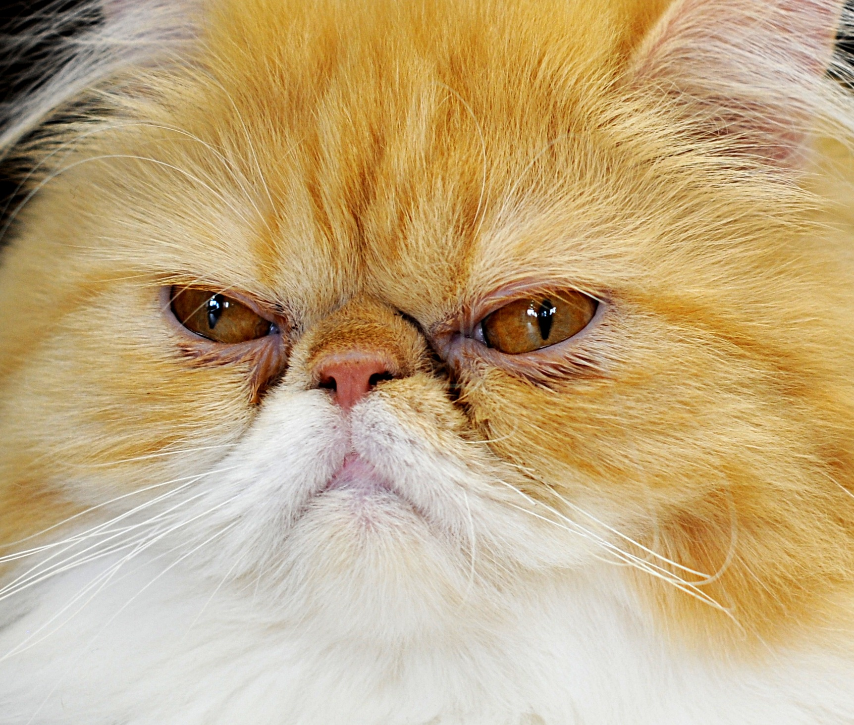 Grumpy Cat by bbartosch