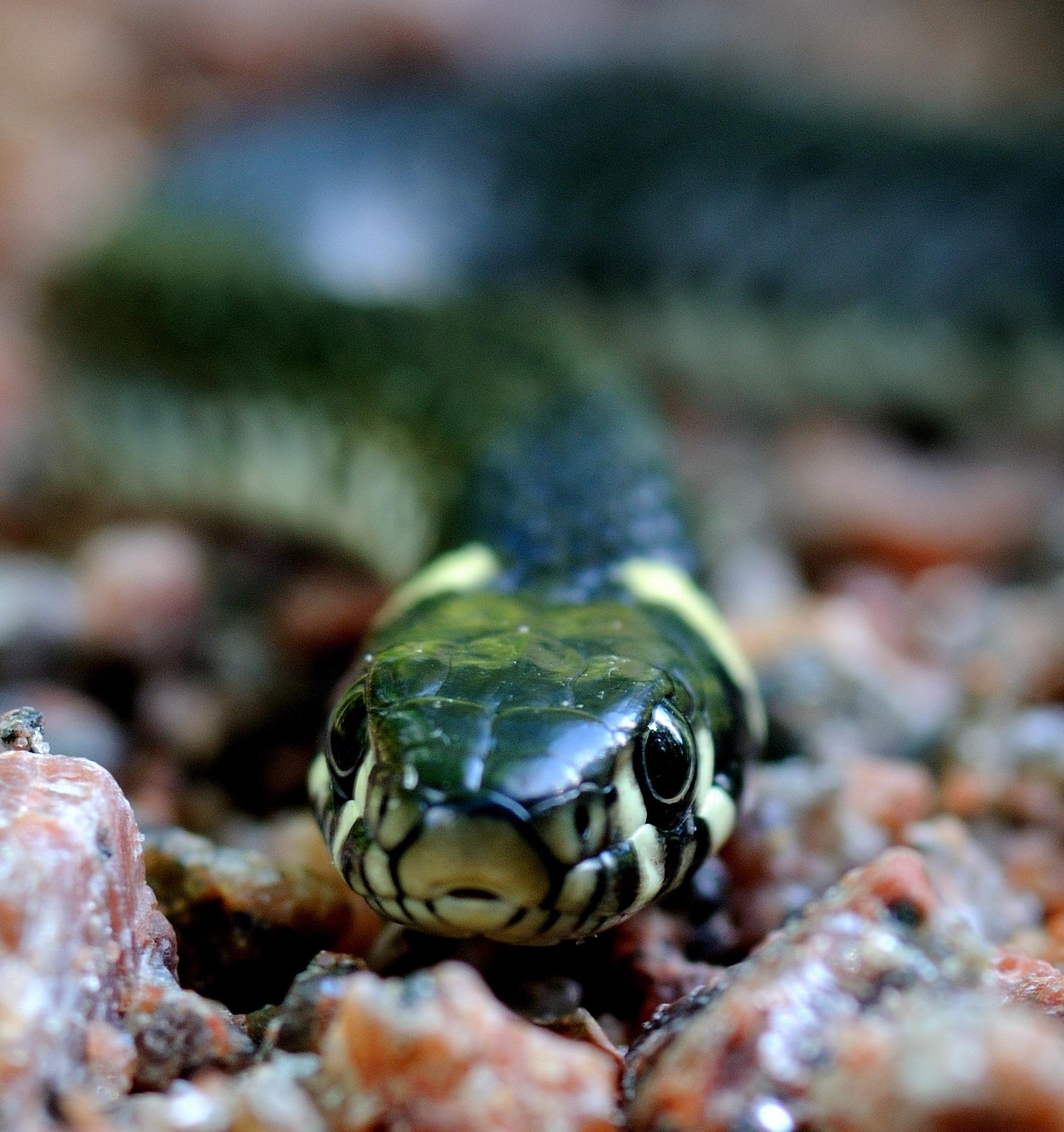 Grass Snake  by bbartosch