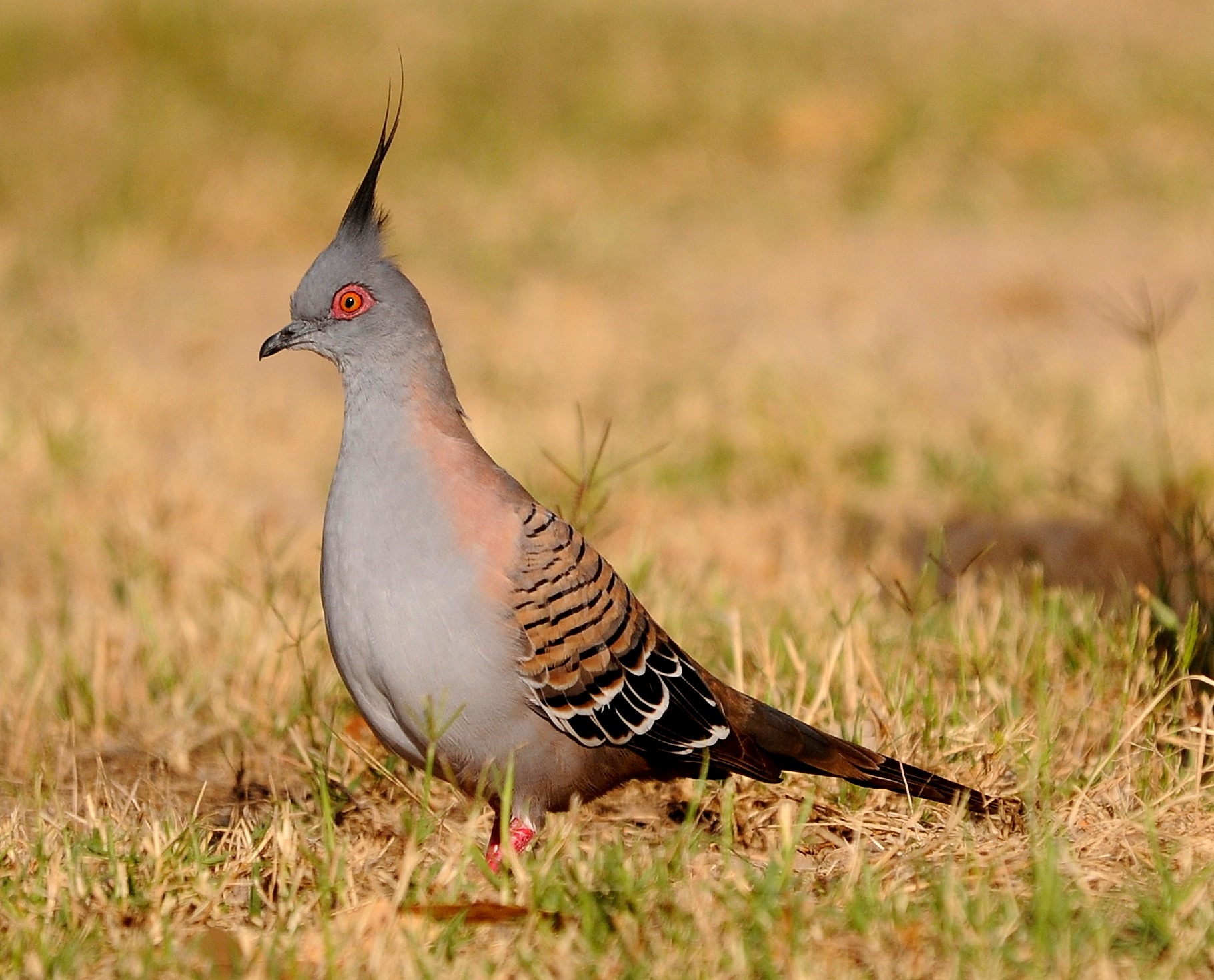 Crested Pigeon by bbartosch