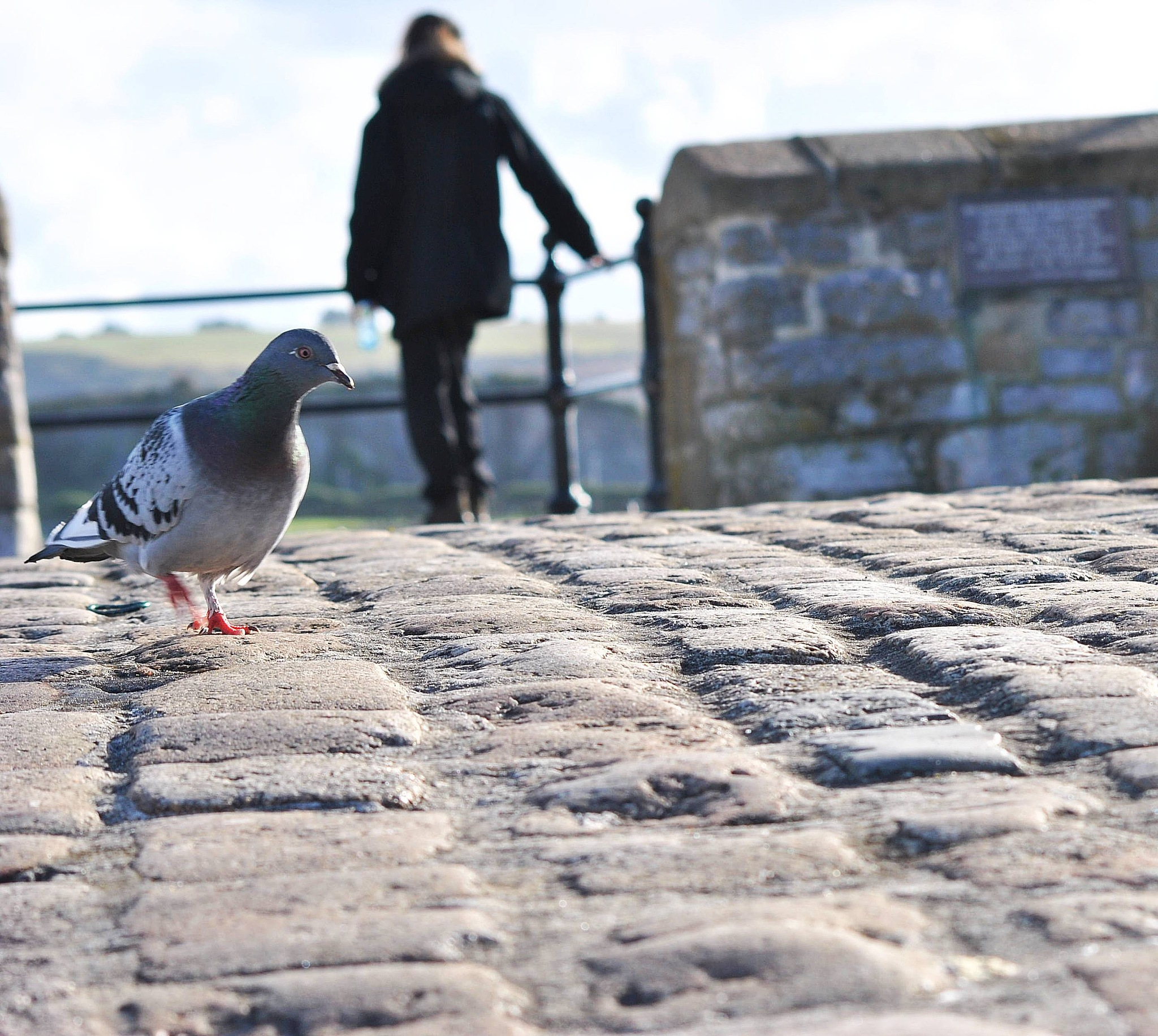 Interested Pigeon by Kyle Anderson