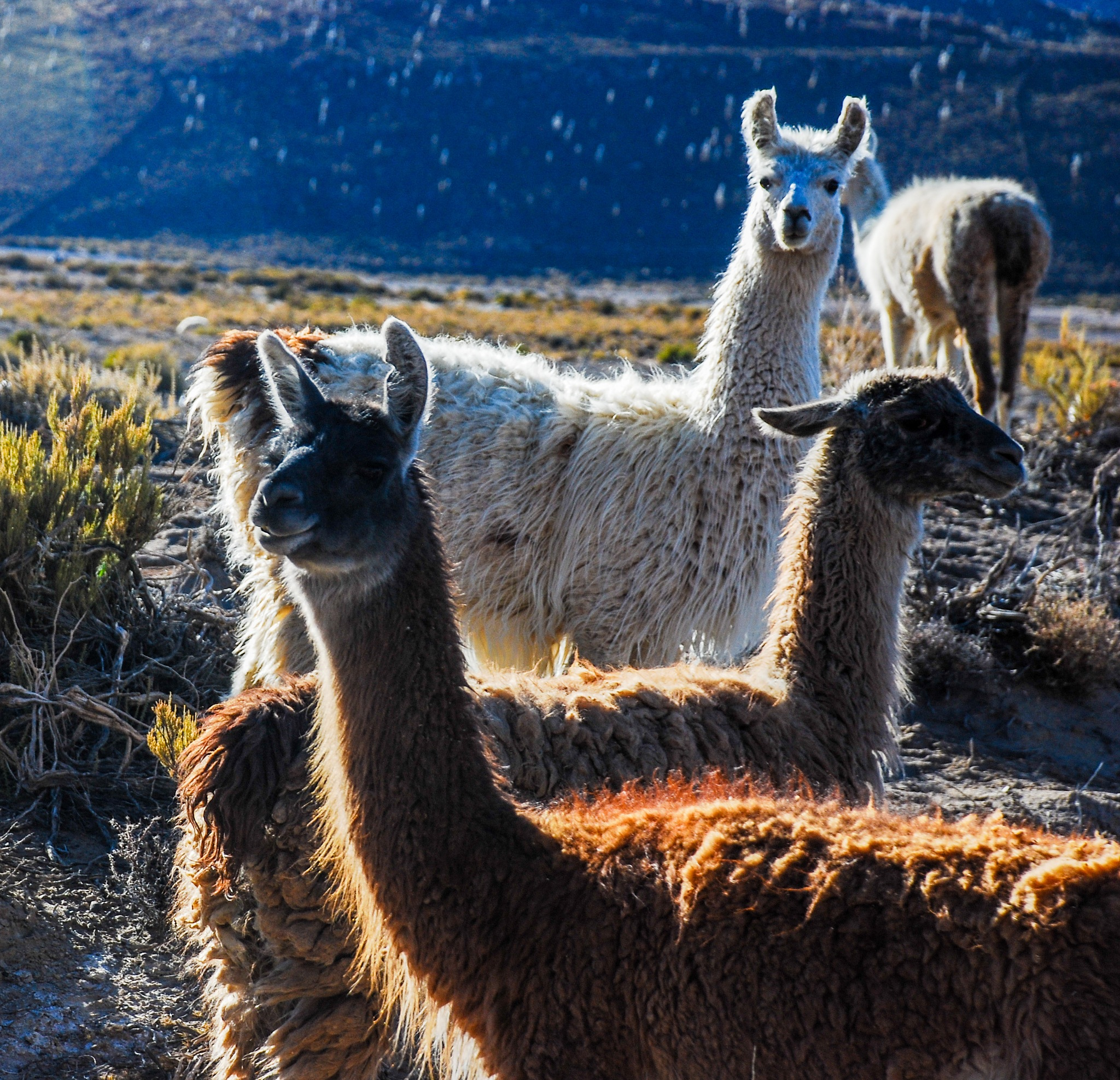 Llamas by HugoKruip