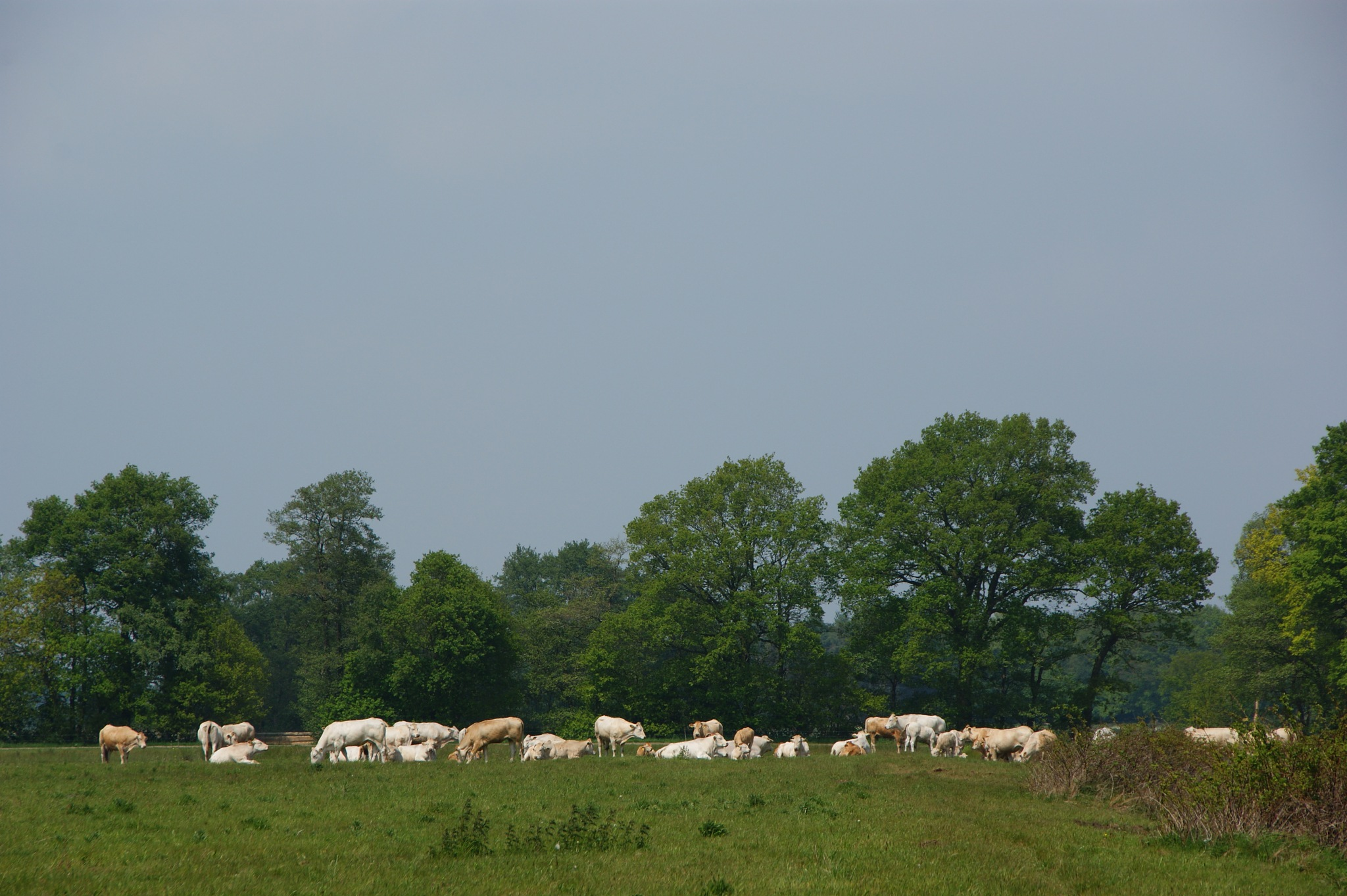 Cows by Schuring