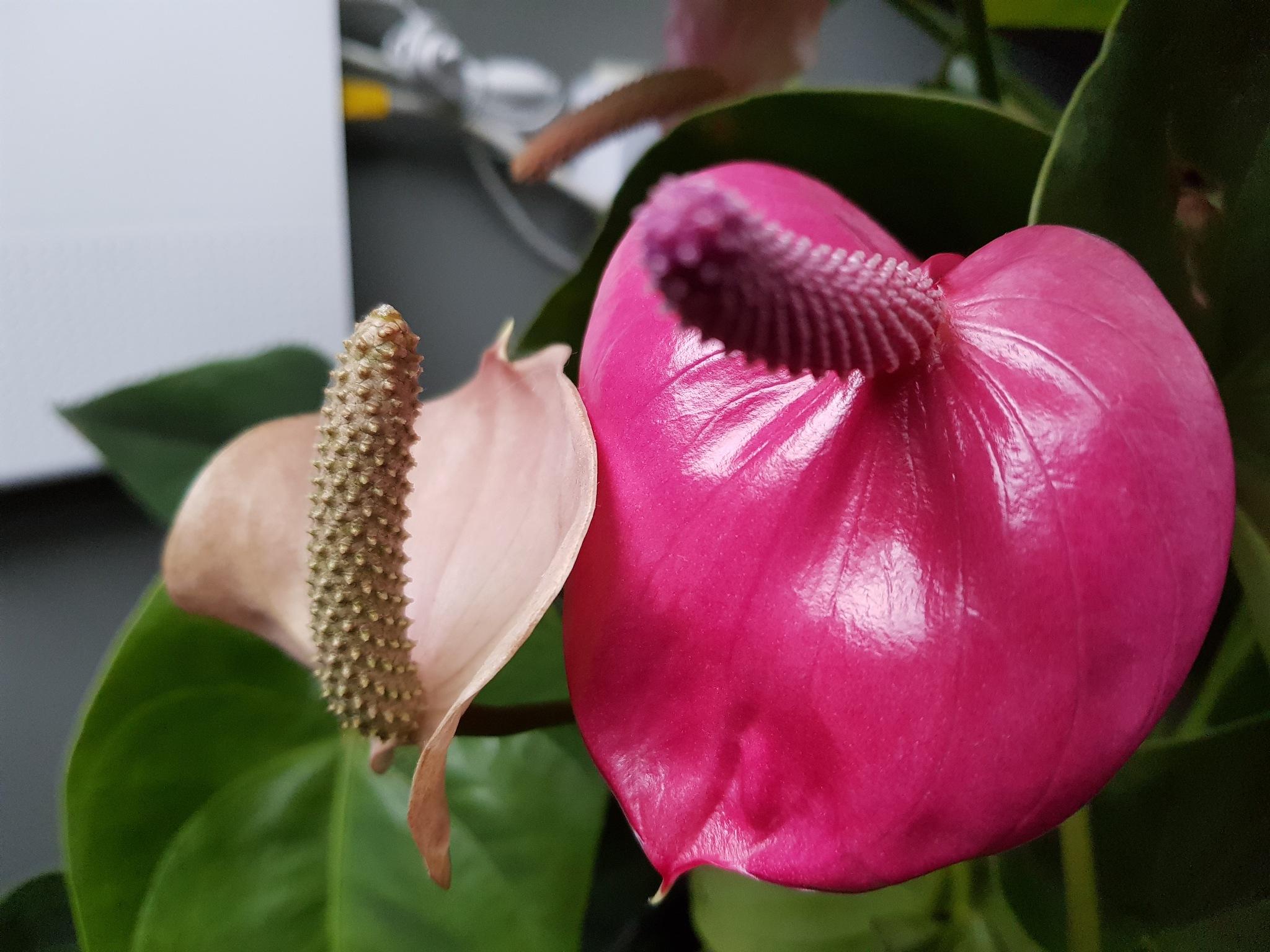 Pink Anthurium by Justmetoo